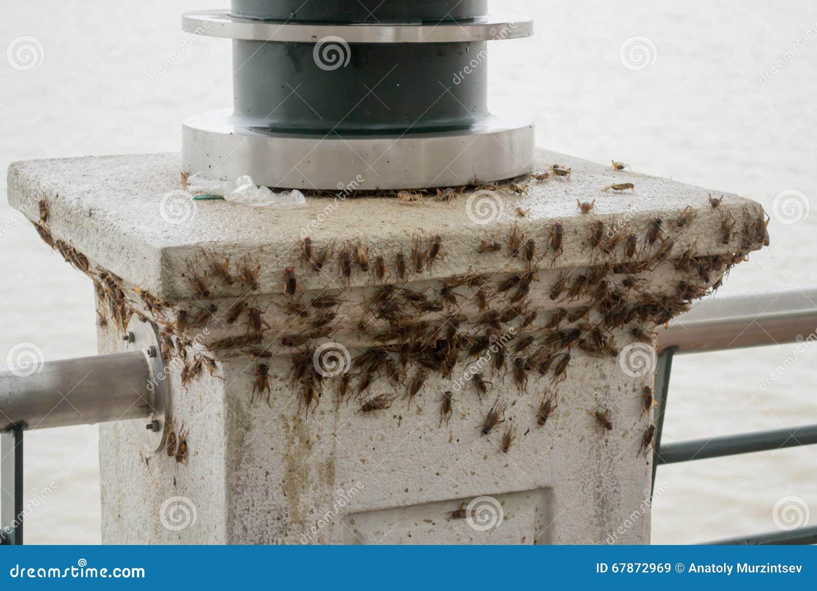 A huge load of crickets (acheta domesticus)