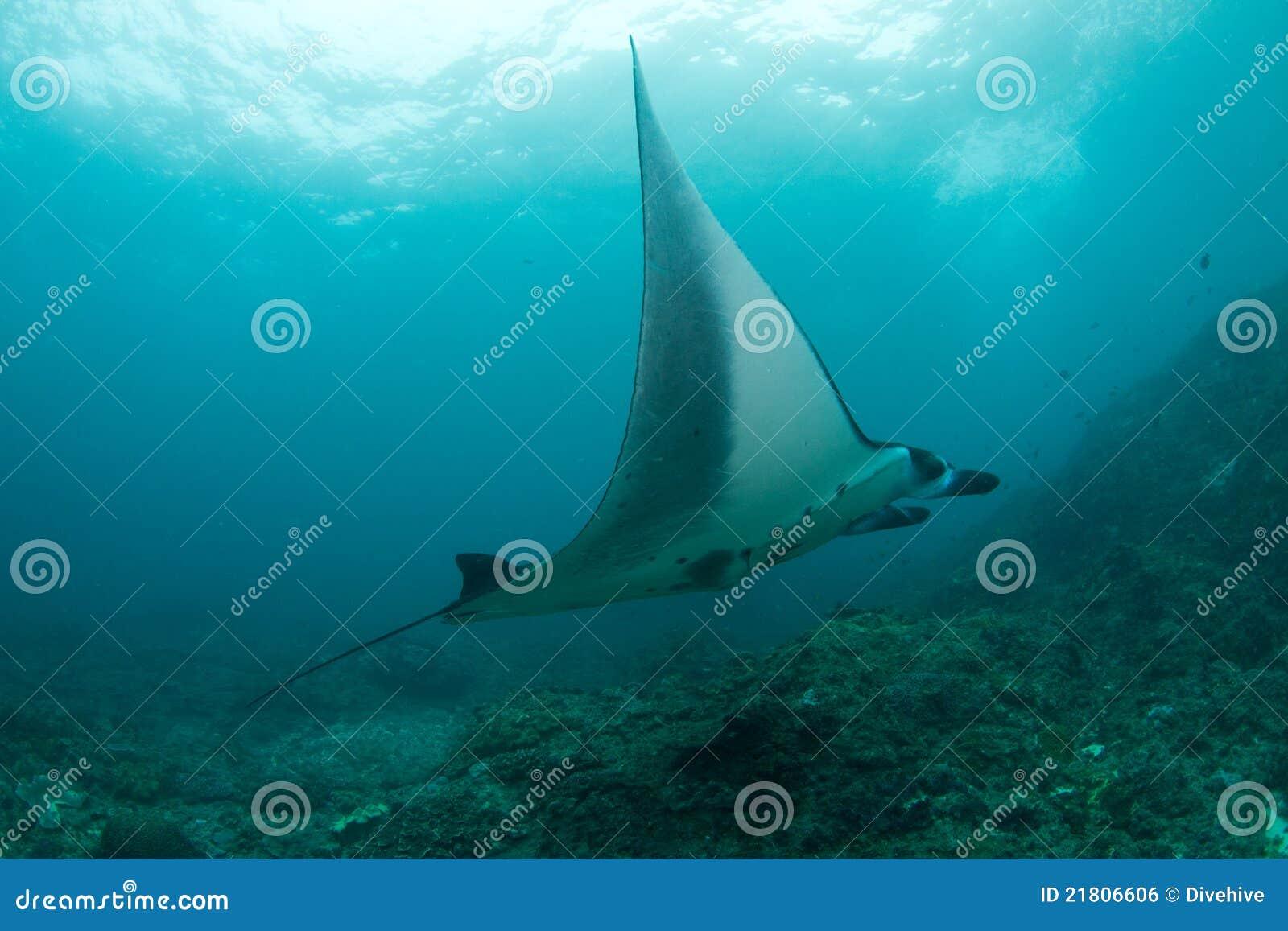 Huge manta ray swimming in the ocean
