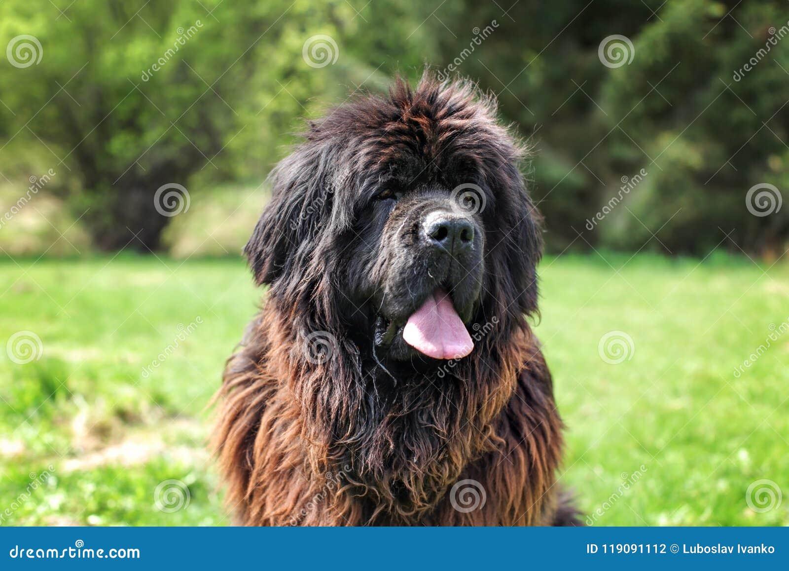 Huge newfoundland dog, with green park in background.