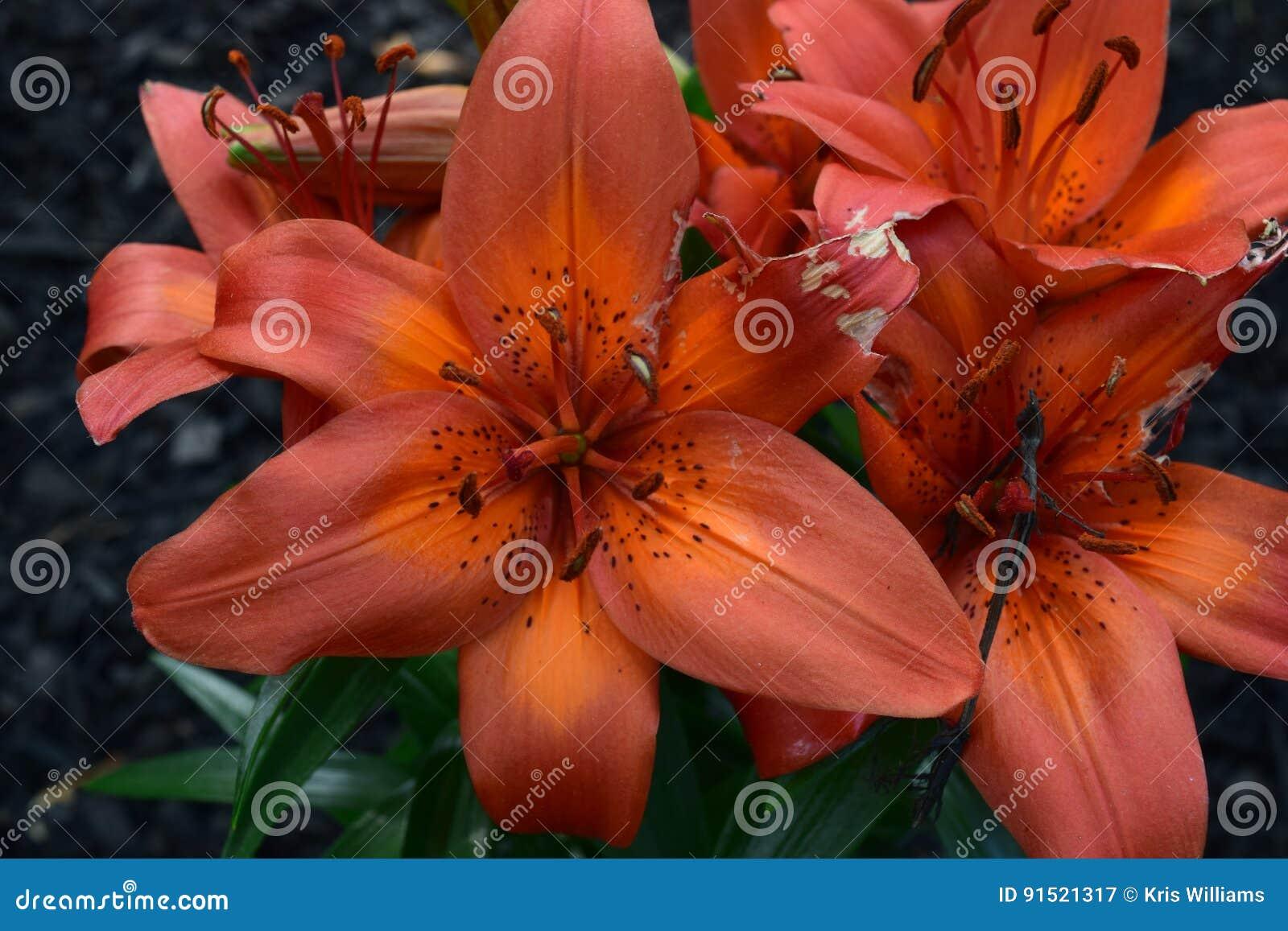 Huge orange lilly bloom