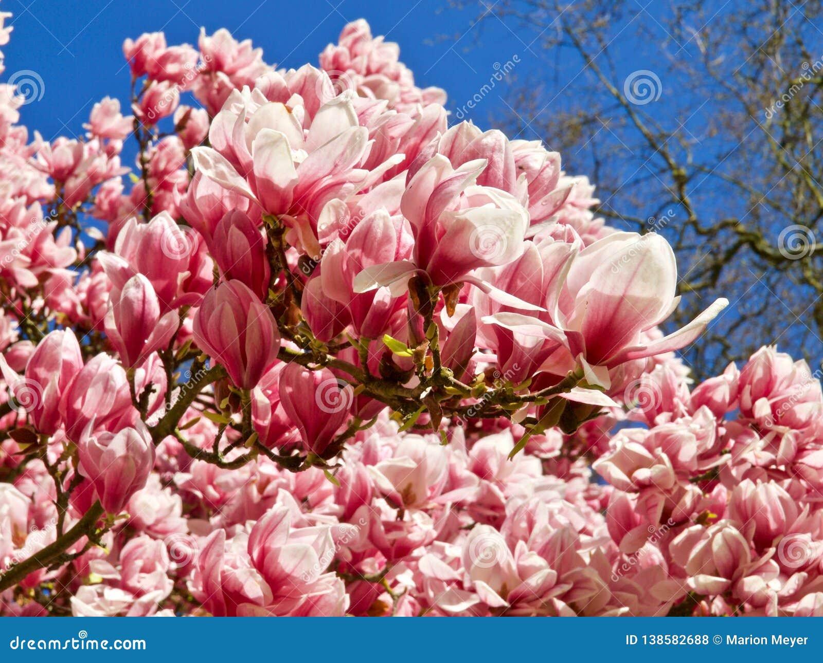 Huge Pink Blooming Magnolia Tree Stock Photo Image Of Bush
