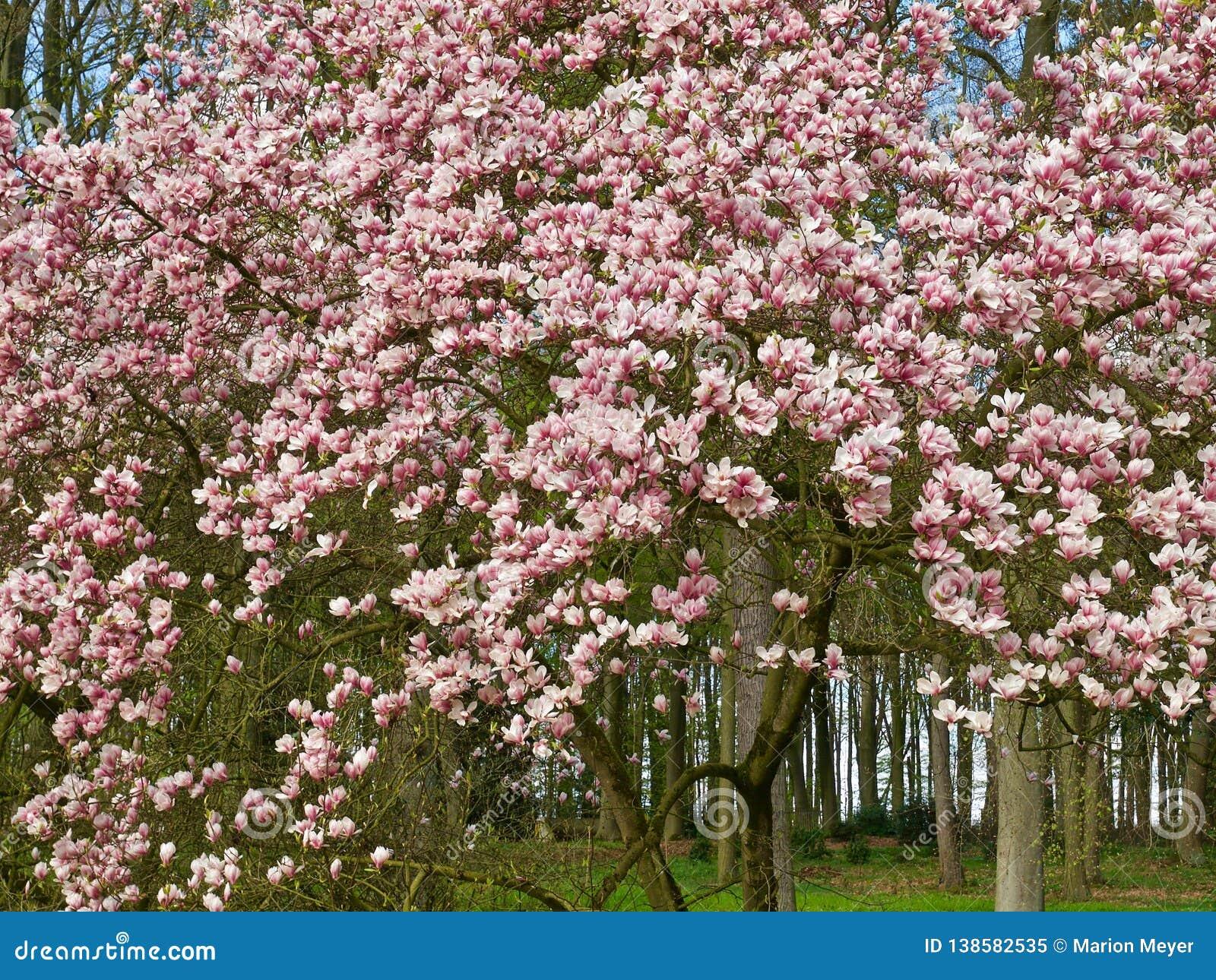 Huge Pink Blooming Magnolia Tree Stock Image Image Of Botany