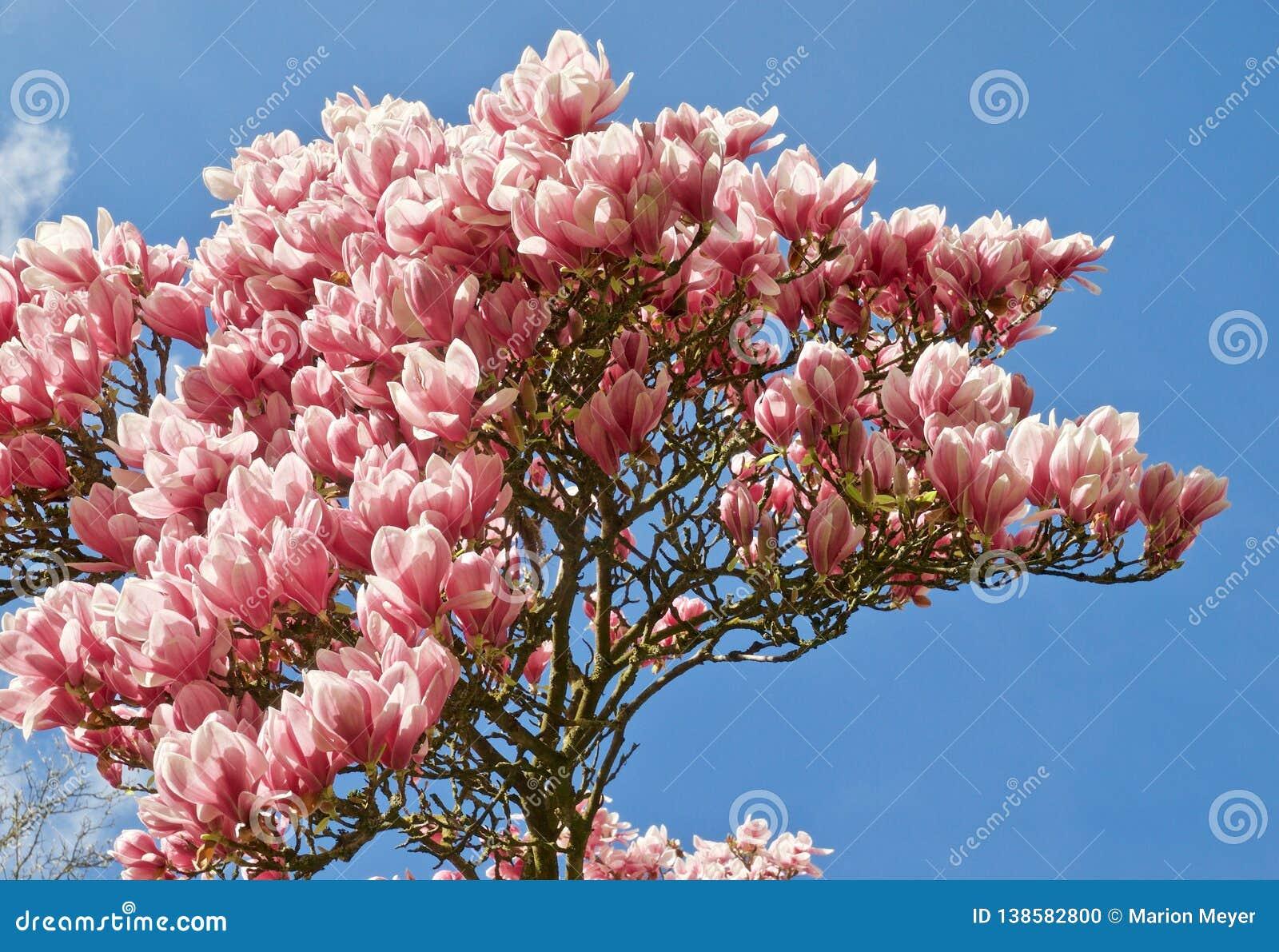 Huge Pink Blooming Magnolia Tree Stock Photo Image Of Medical