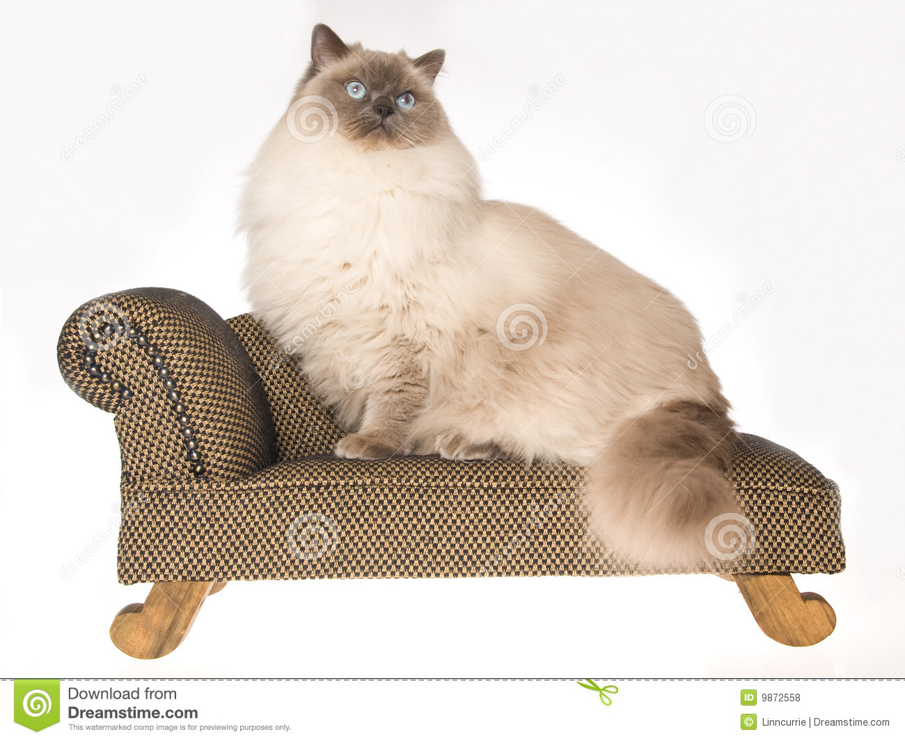 Huge Ragdoll Cat Sitting On Brown Sofa Royalty Free Stock