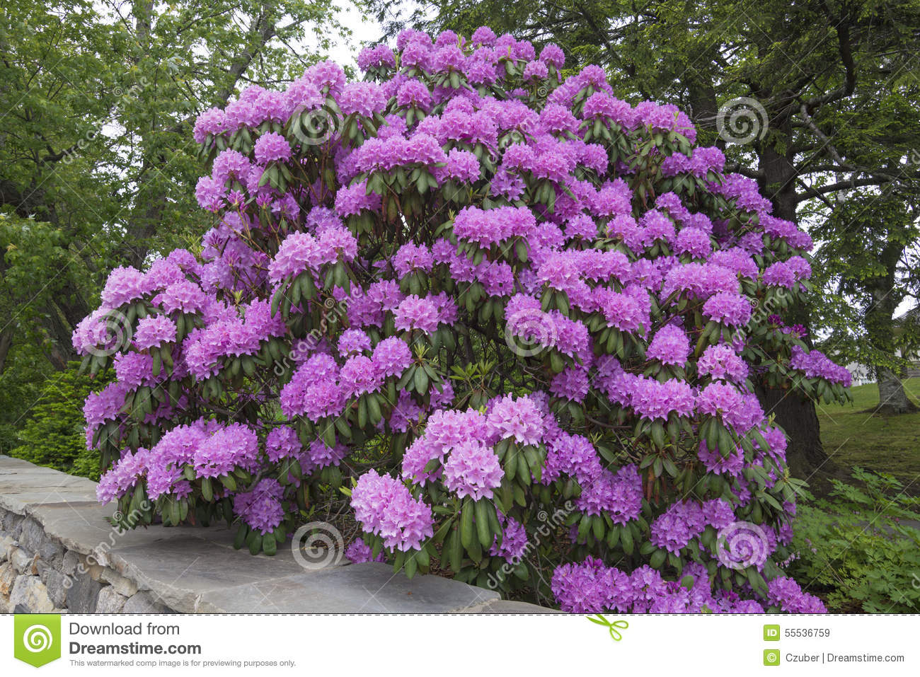 Huge Rhododendron Flowers In Full Bloom Stock Image Image Of
