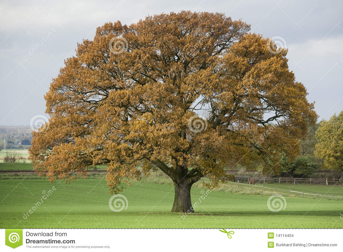 How to Estimate the Age of an Oak Tree