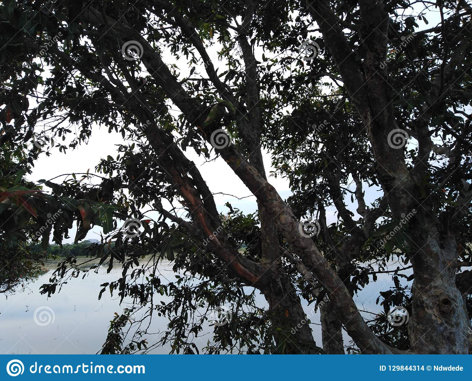 A huge tree in front of a lake dark leaves