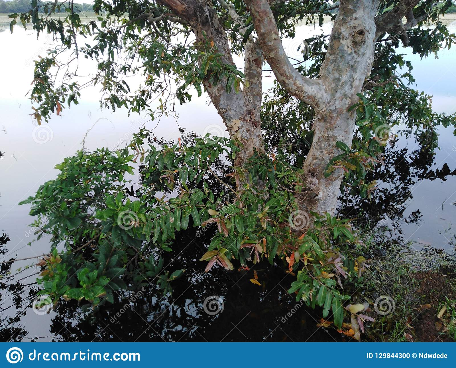 Huge tree surrounded by water this tree called Kubuk in sri lanka