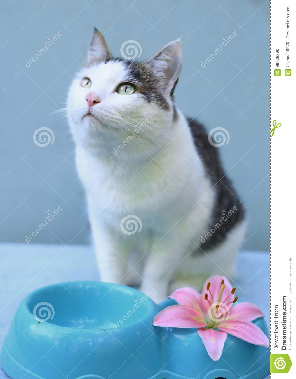 Hugry Cat Ask For Eating With Blue Bowl Stock Photo Image Of