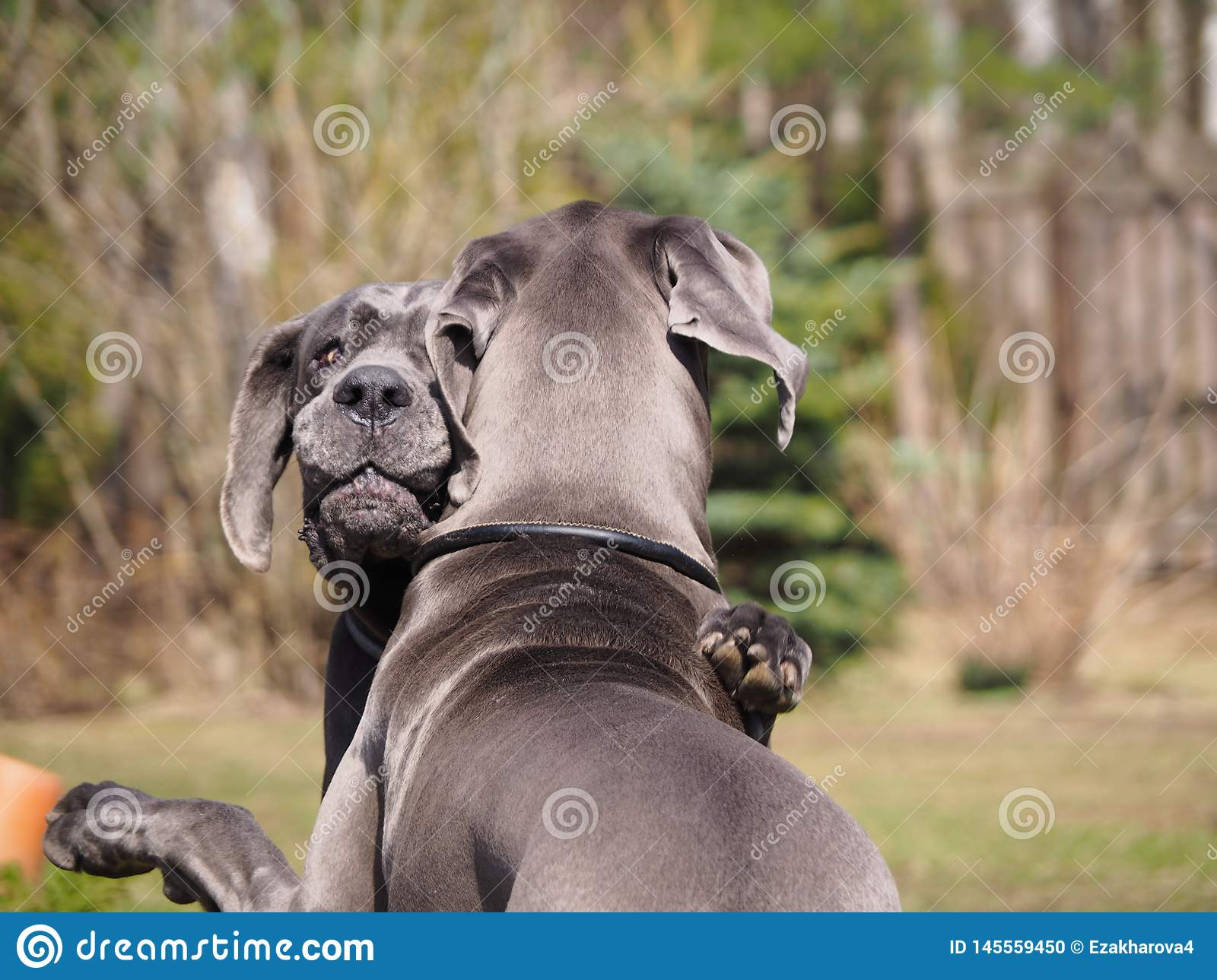 Hugs and games dogs breed great Dane blue color.