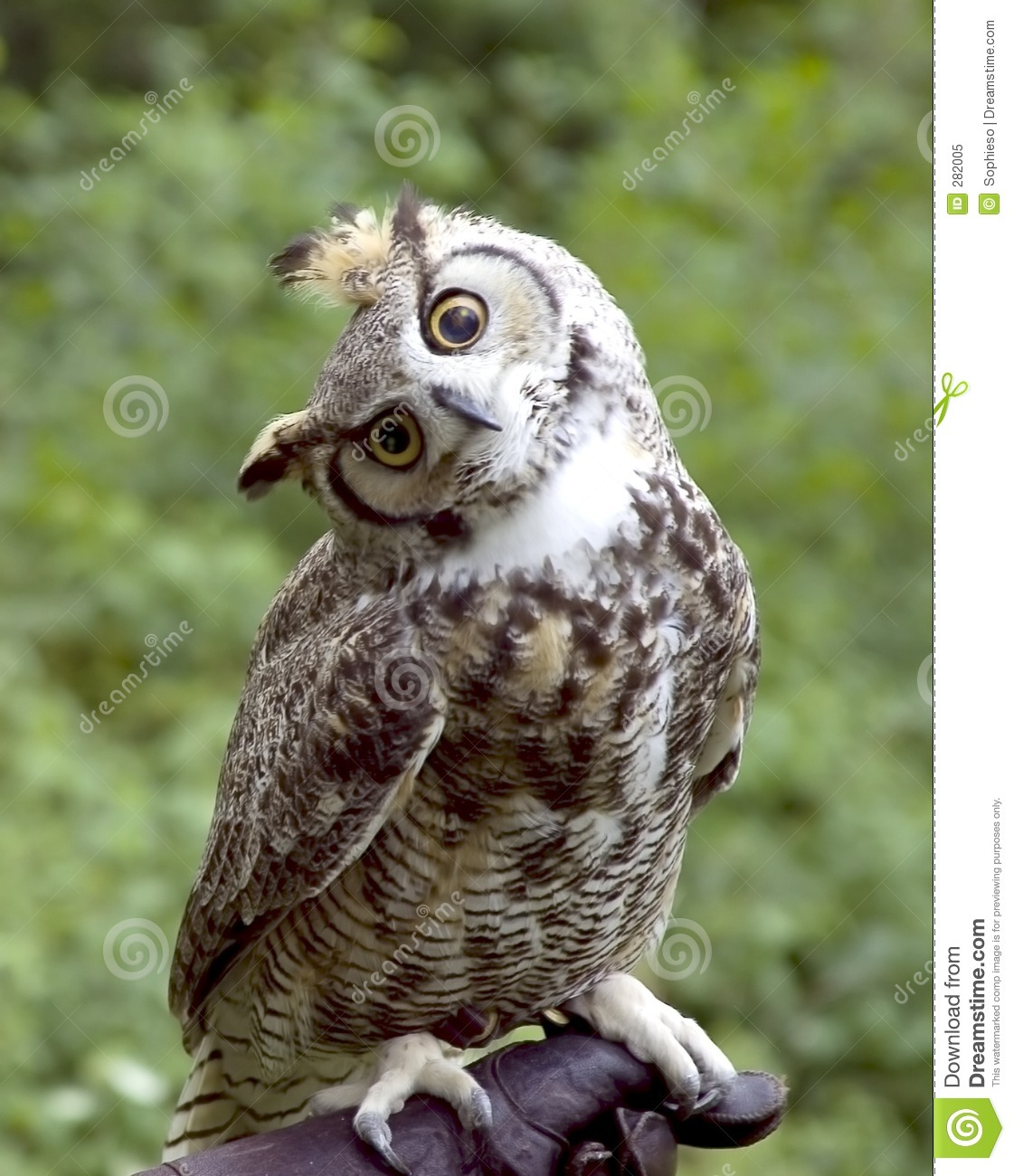 Huh? Owl stock image. Image of talons, bird, unique ...