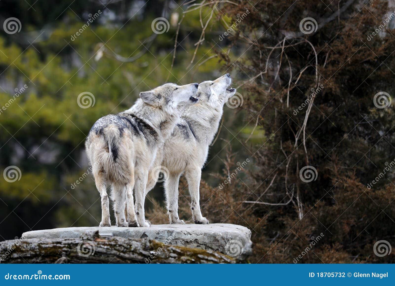 Huilende Mexicaanse grijze wolven
