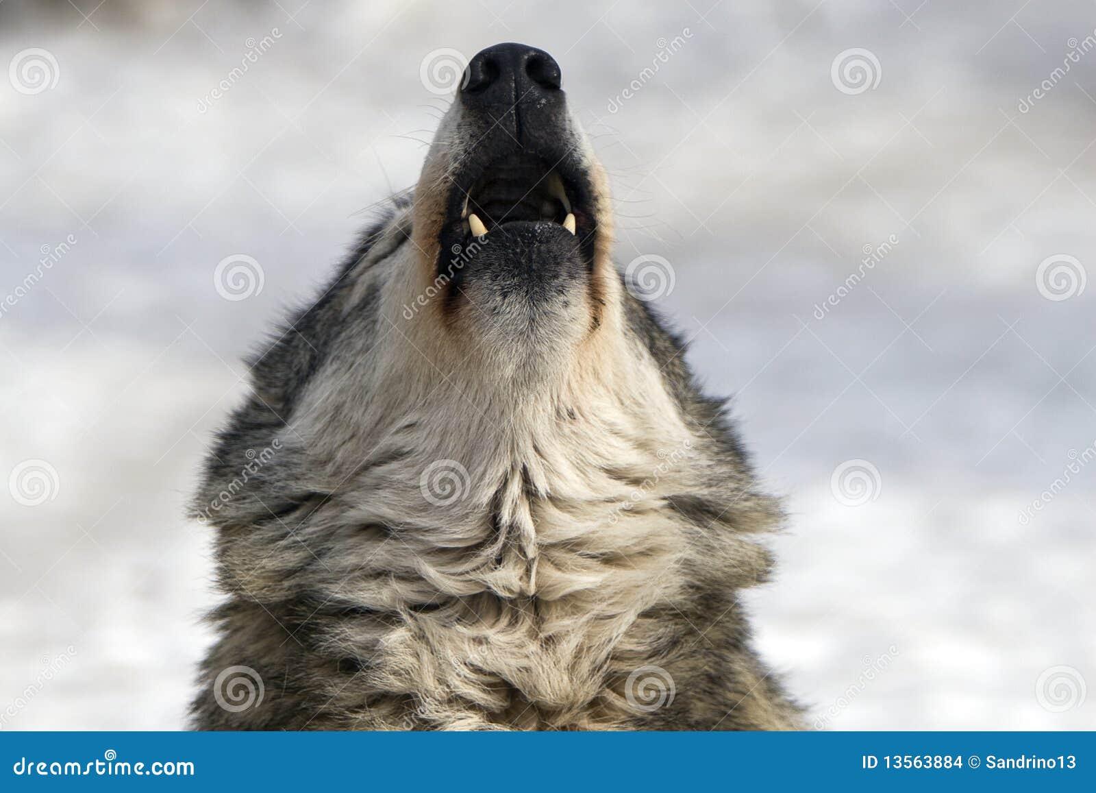 Huilende wolf