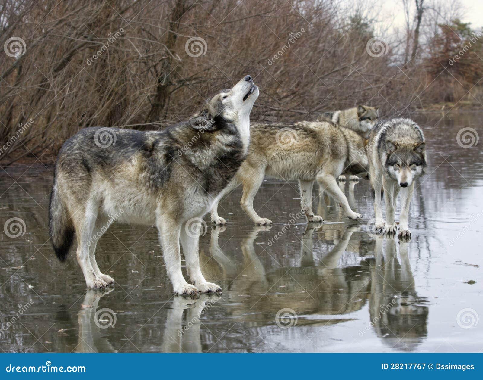 Huilende Wolf met Pak
