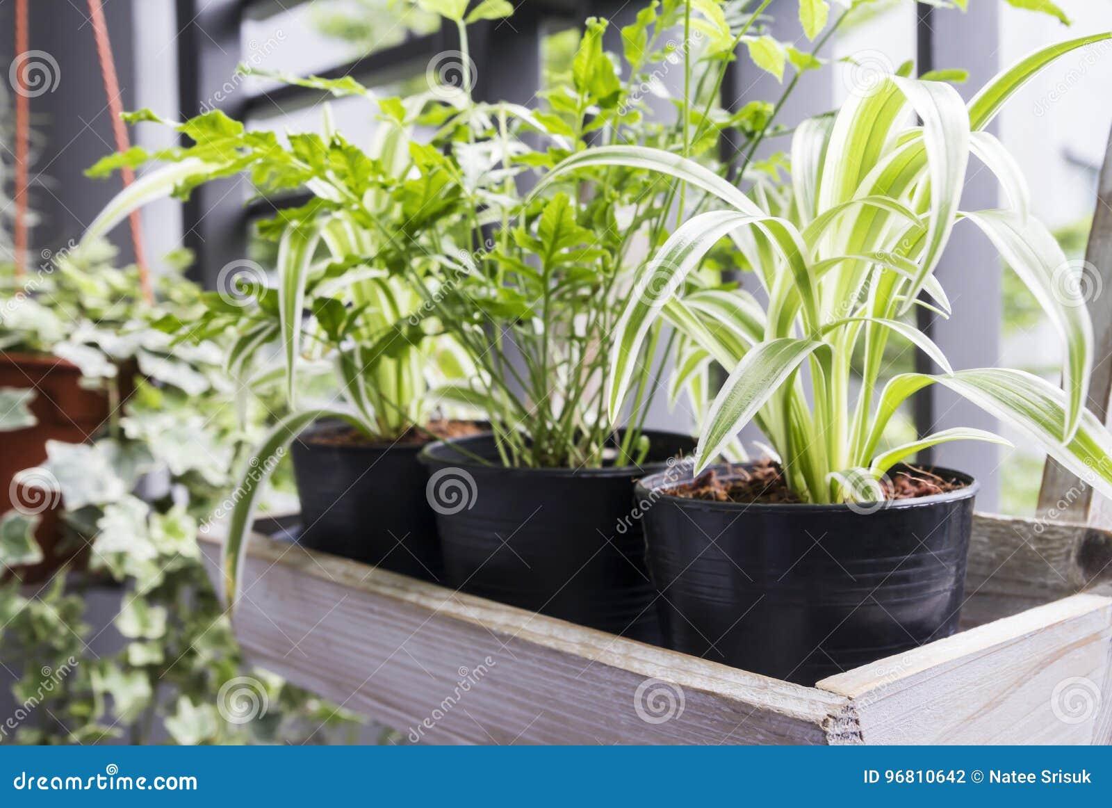 Boom In Pot Op Balkon.Huis En Tuinconcept Spininstallatie En Varen In Pot Stock Foto