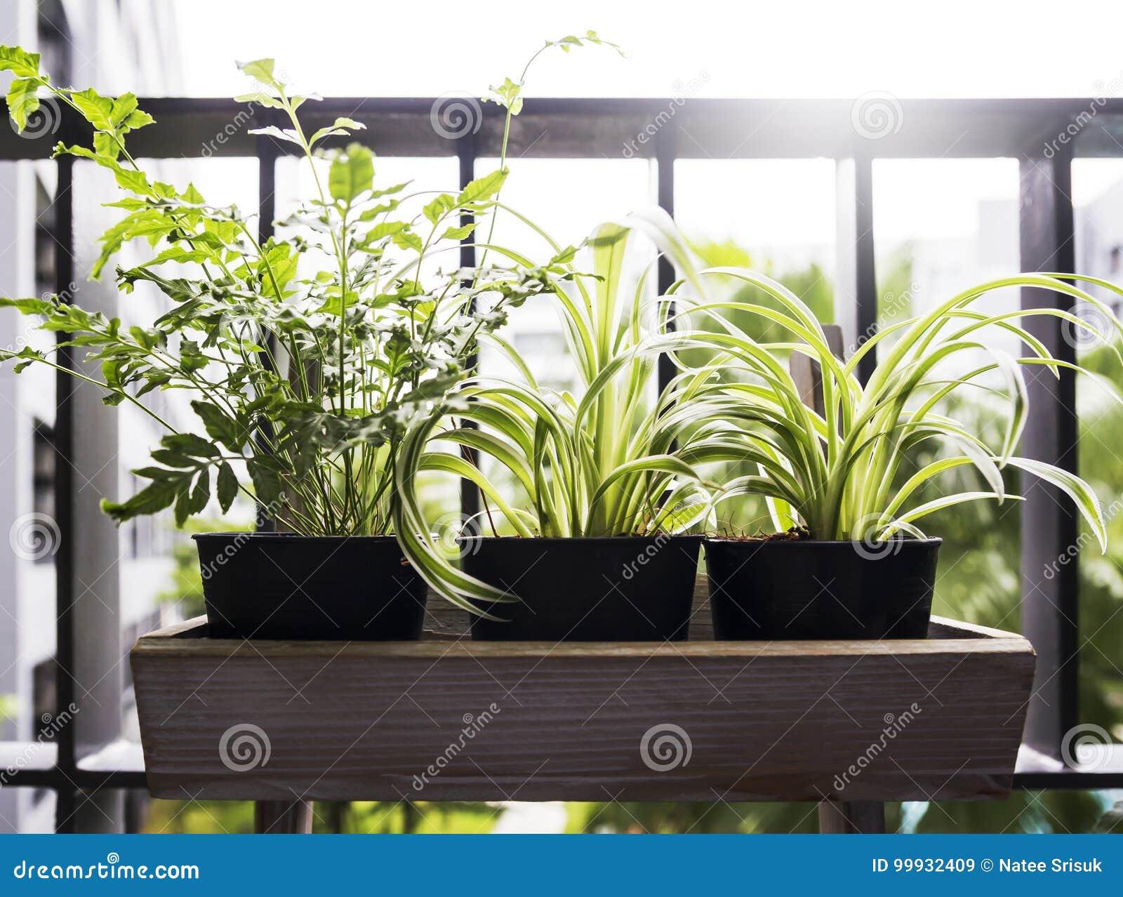 Boom In Pot Op Balkon.Huis En Tuinconcept Spininstallatie En Varen In Pot Stock Afbeelding