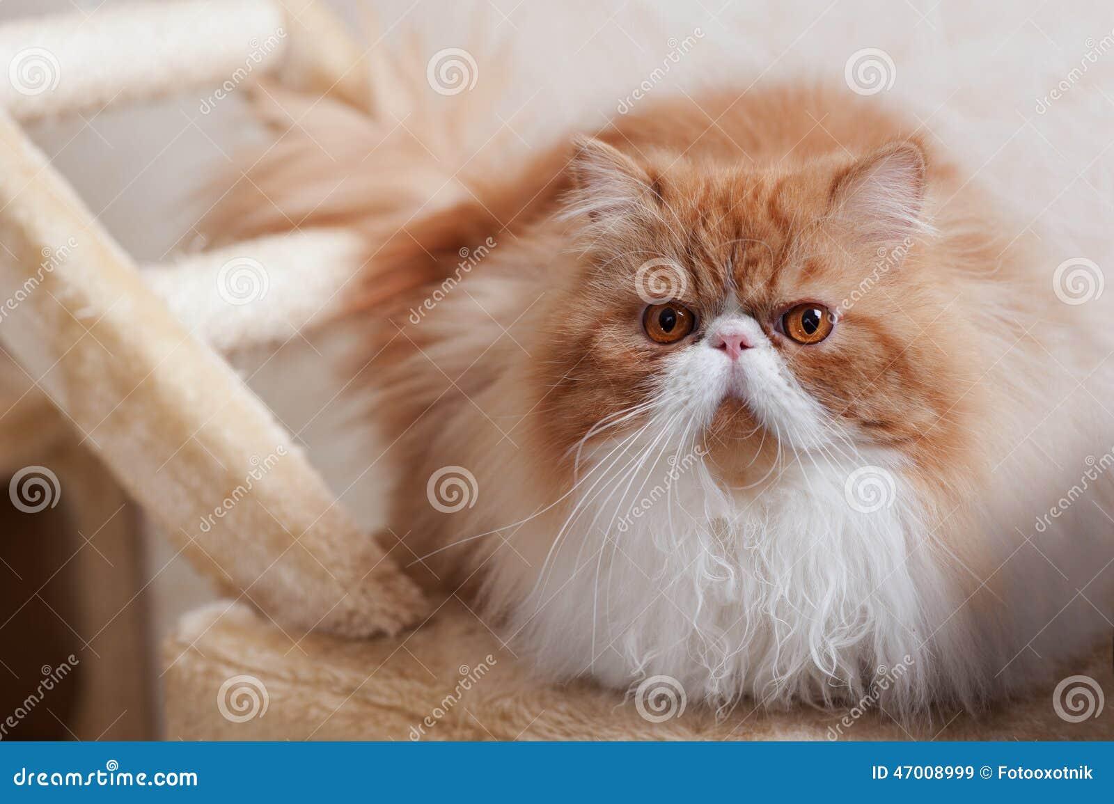 Huis Perzisch katje van Rode en Witte Kleur