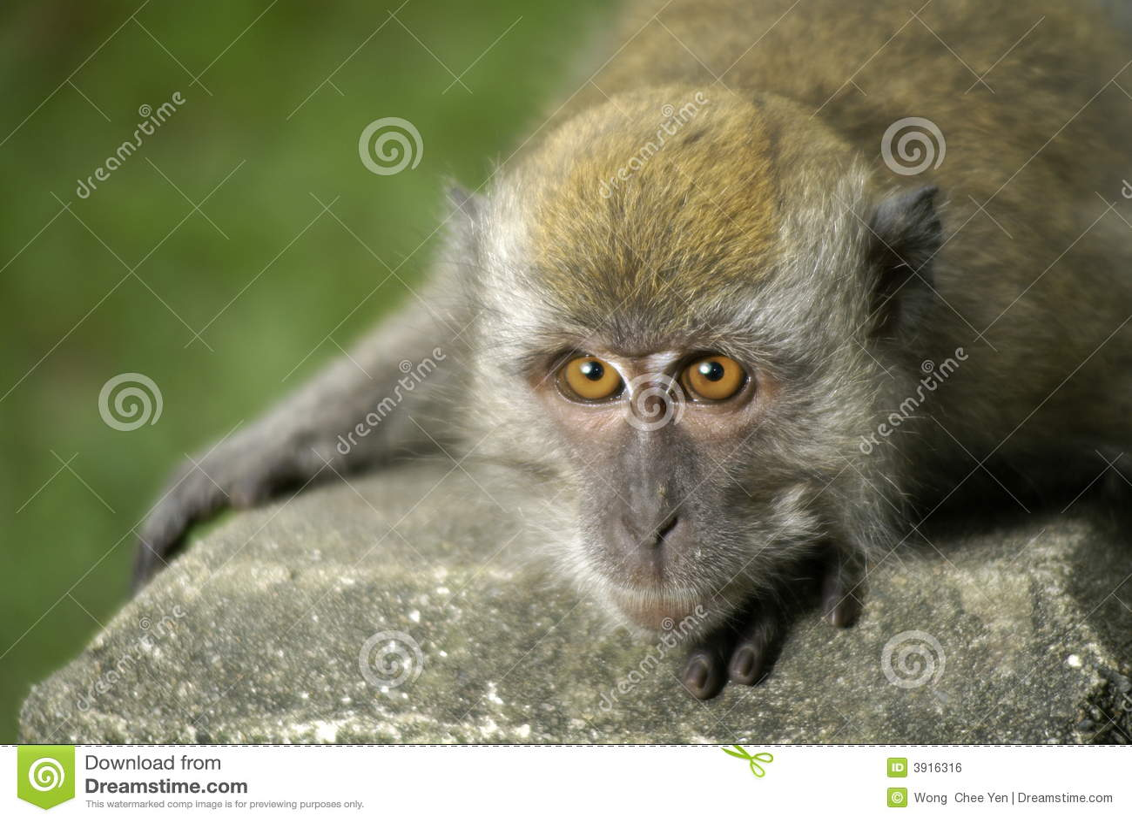 Huka sig ned ner macaque