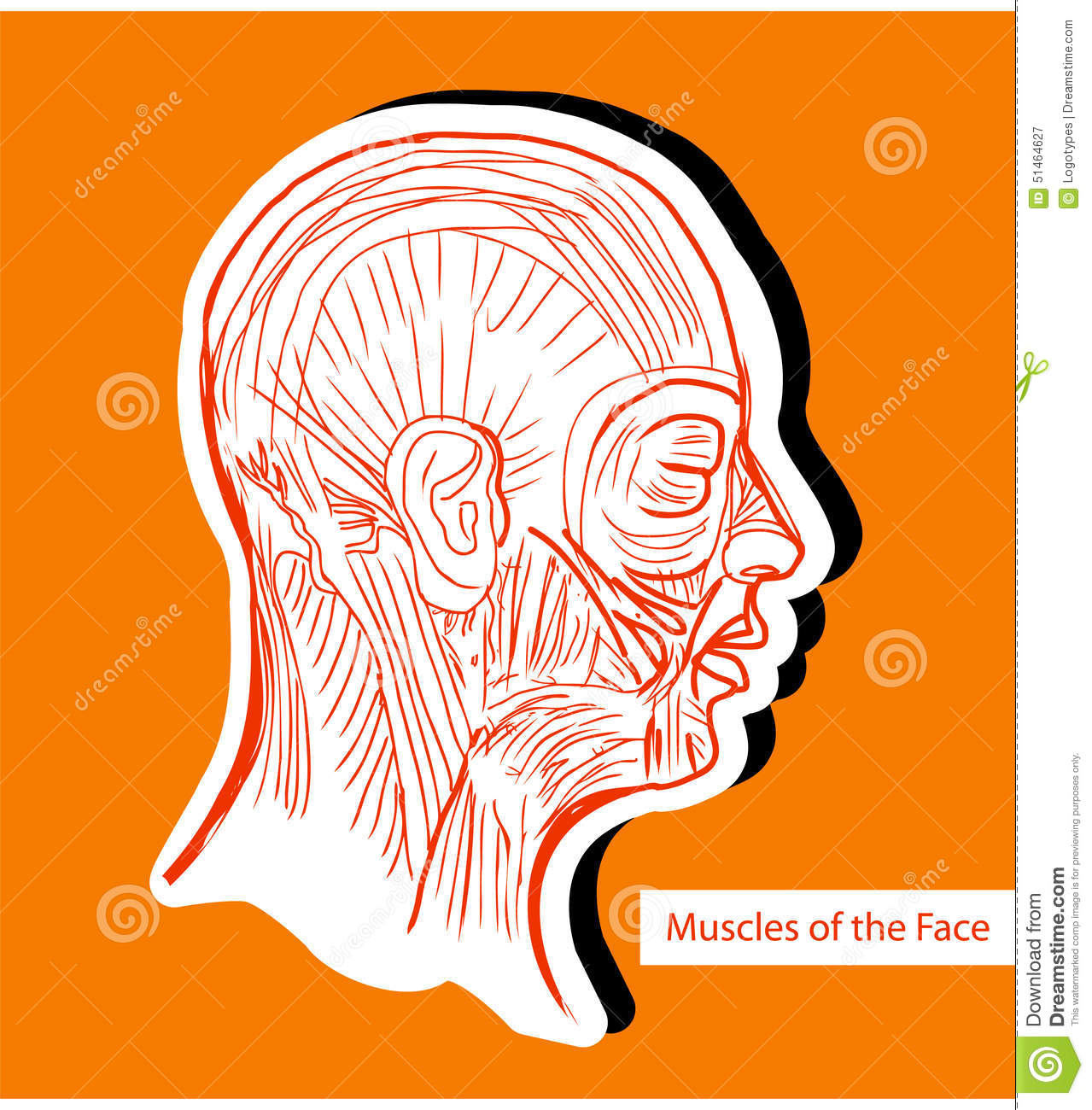 Human Anatomie Muscles Of The Face (Facial Muscles) - Medical Il ...