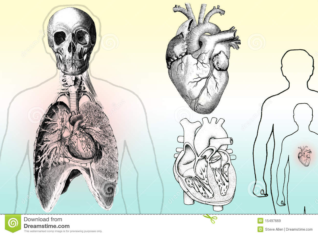 Human Anatomy Stock Illustration Of Heart 15497669 Torso Diagram