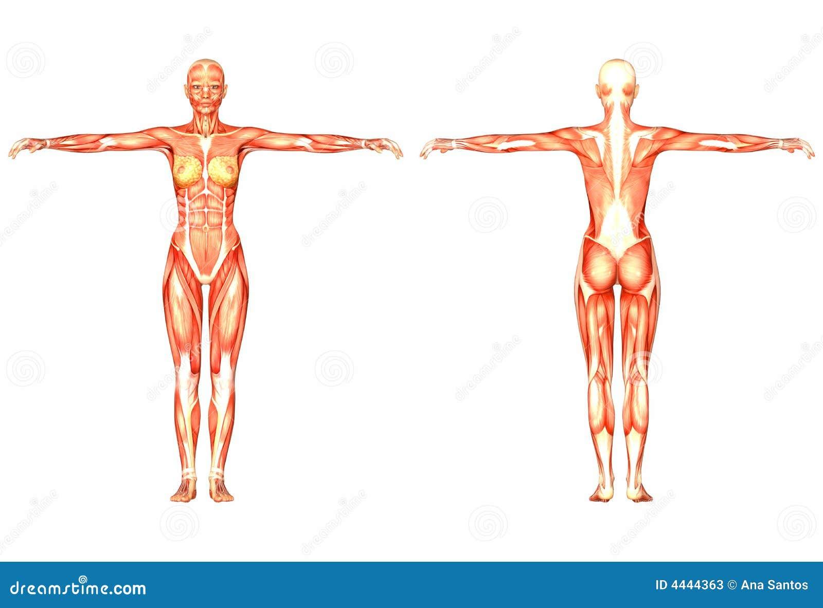 Human Anatomy stock illustration. Illustration of research - 4444363