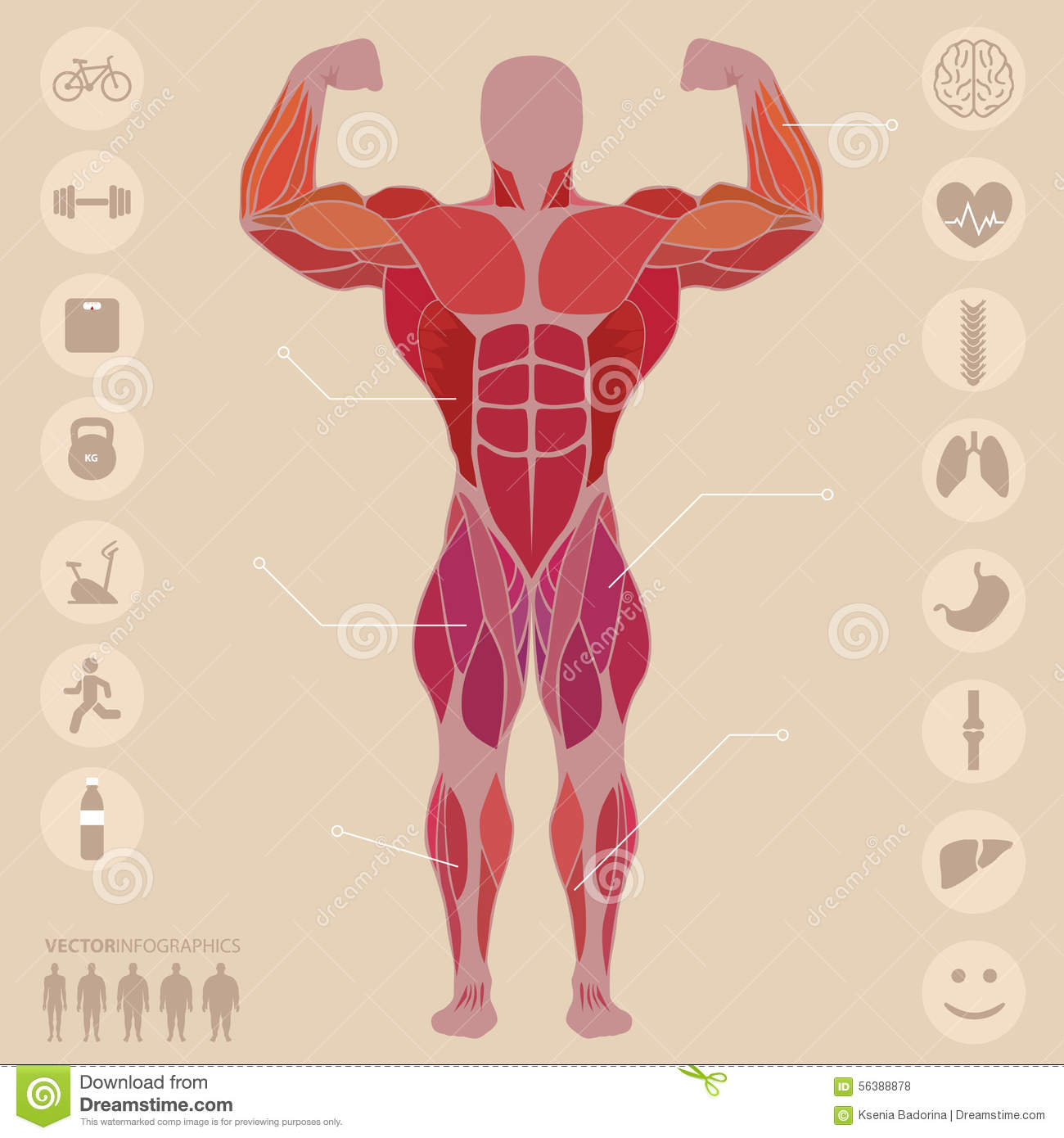 Human Anatomy Anterior Muscles Sports Medical Vector Stock