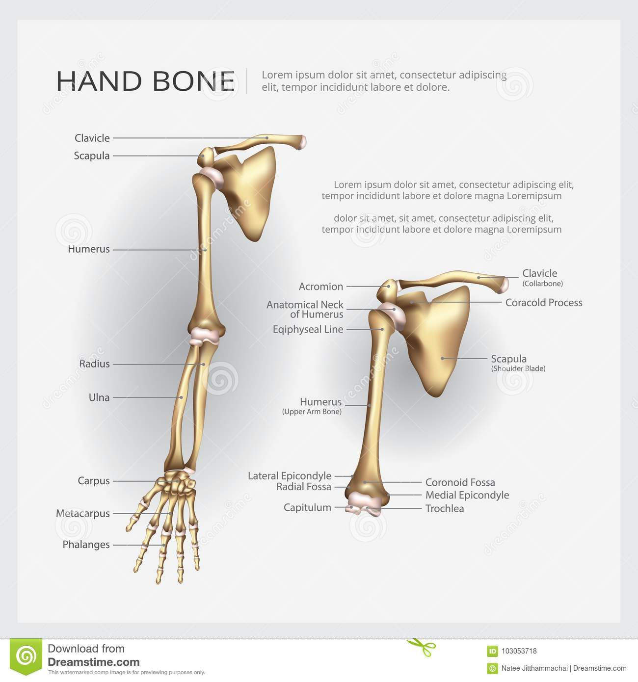 Human Anatomy Arm And Hand Bone Stock Vector Illustration Of