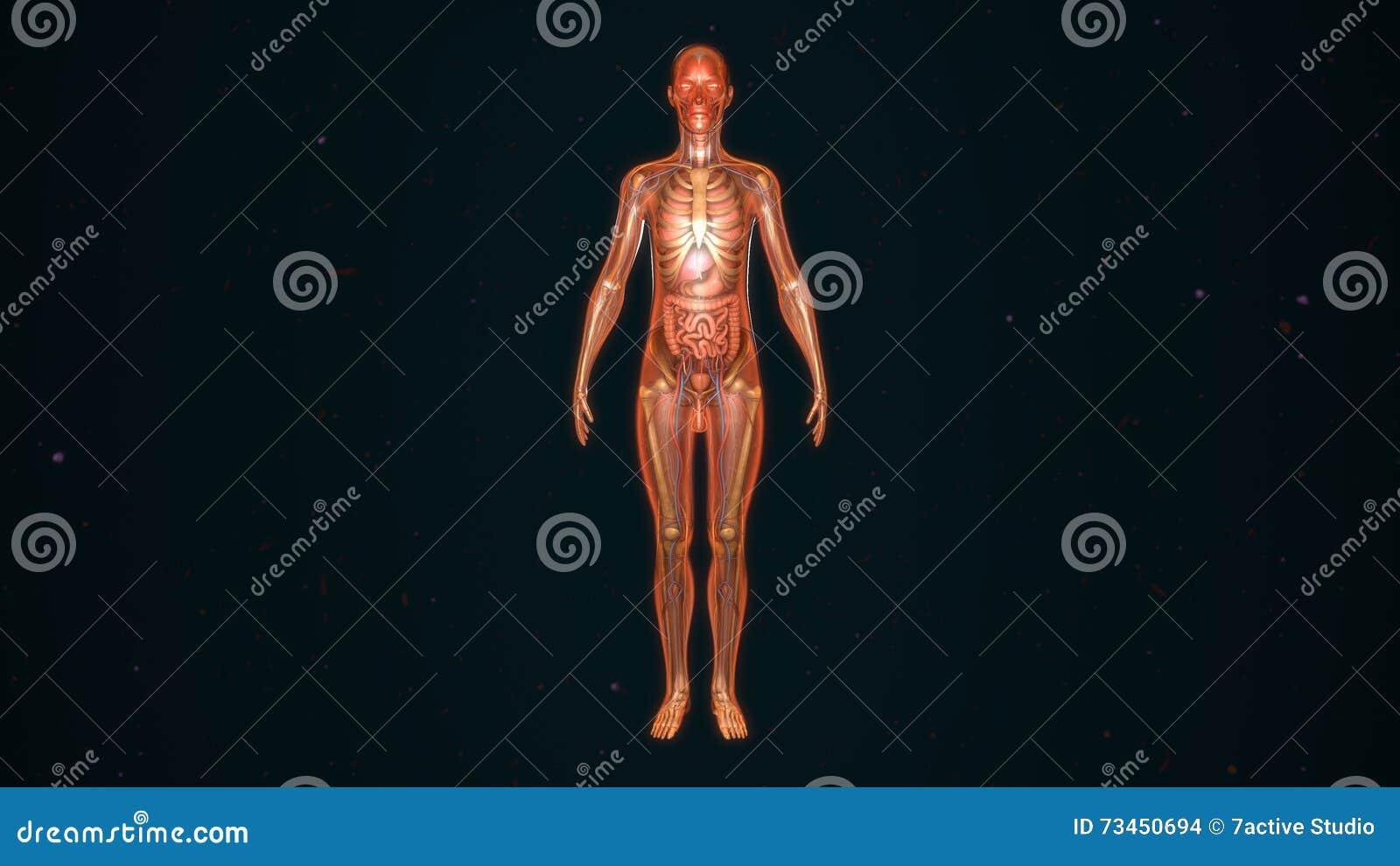 Human Anatomy stock illustration. Illustration of anatomy - 73450694