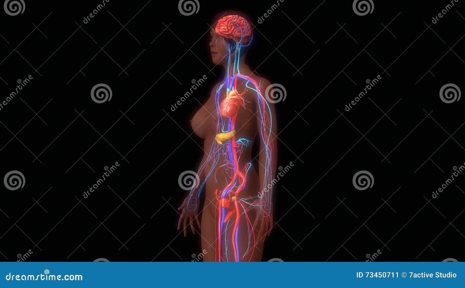 Human Anatomy Stock Illustration Illustration Of Digestive 73450711