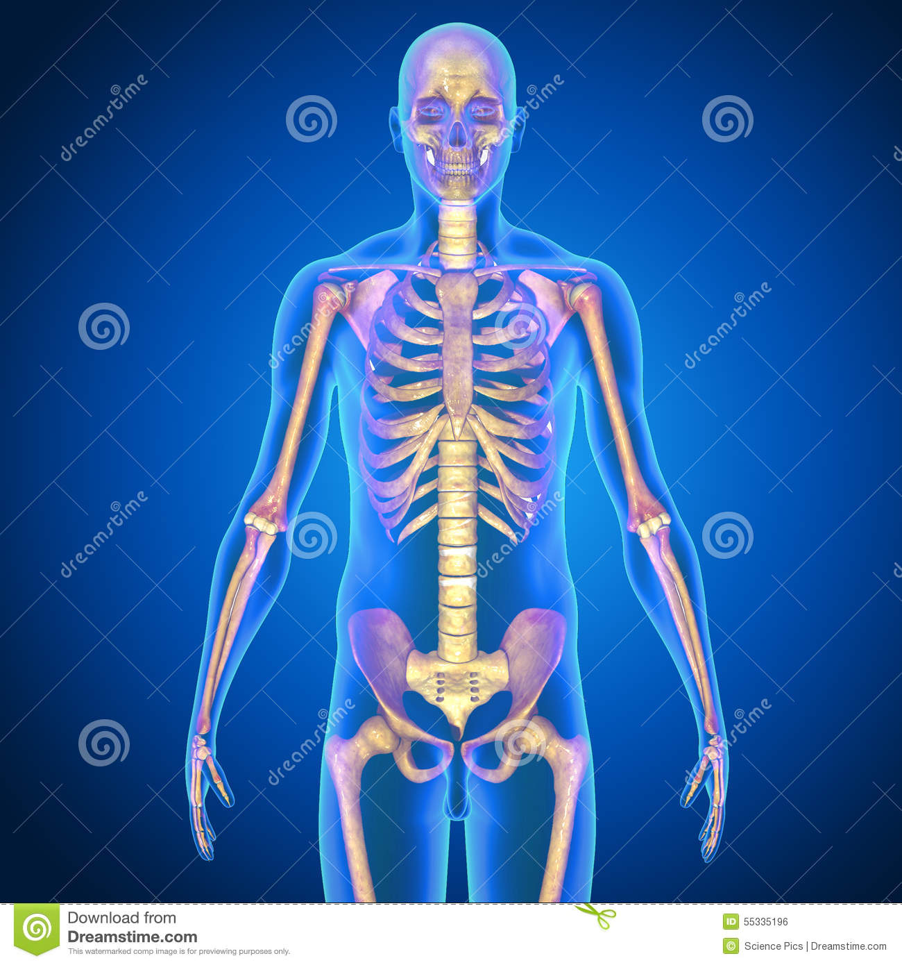 Human Anatomy Stock Illustration Illustration Of Human 55335196