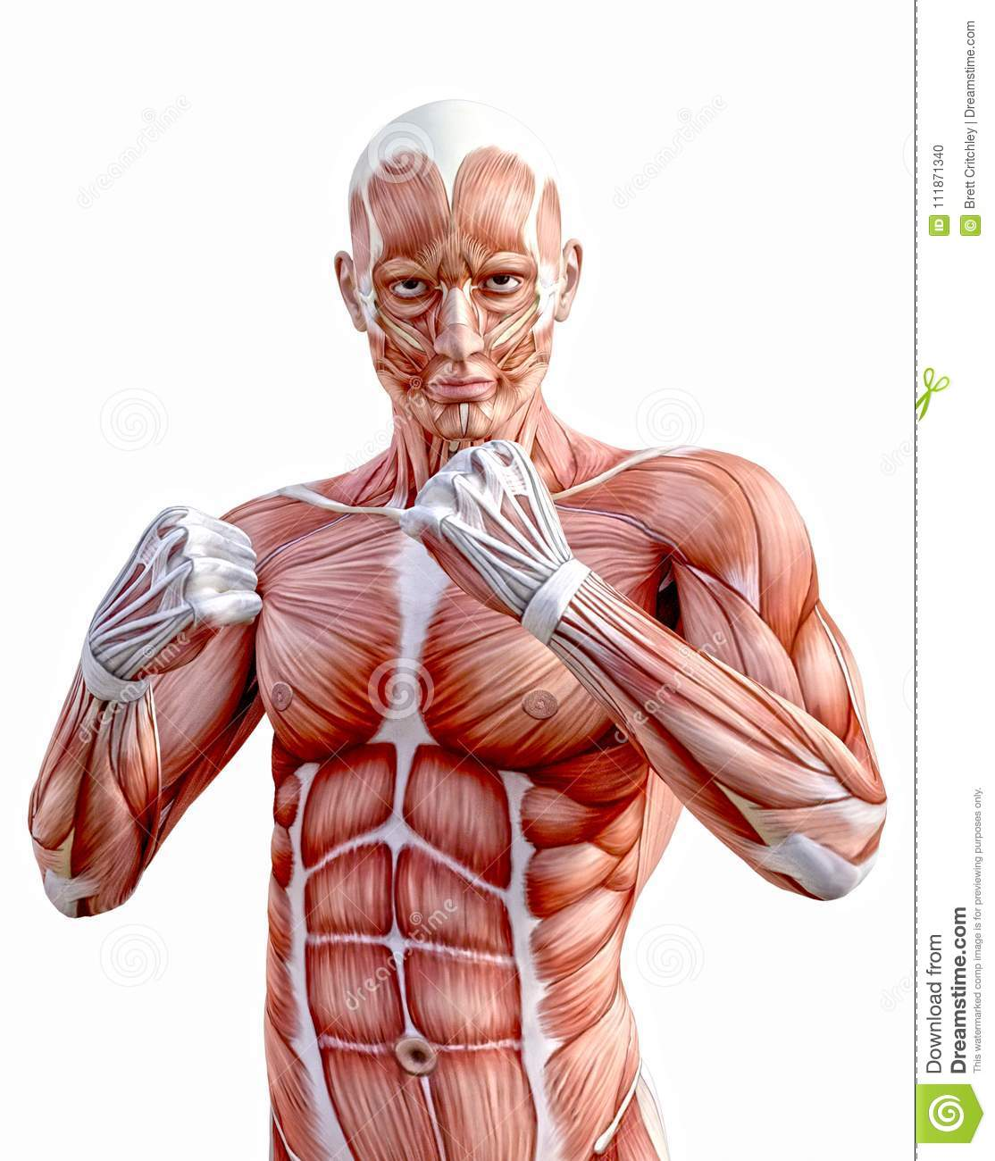 Human Anatomy Body Muscles Fighting Fists Stock Illustration