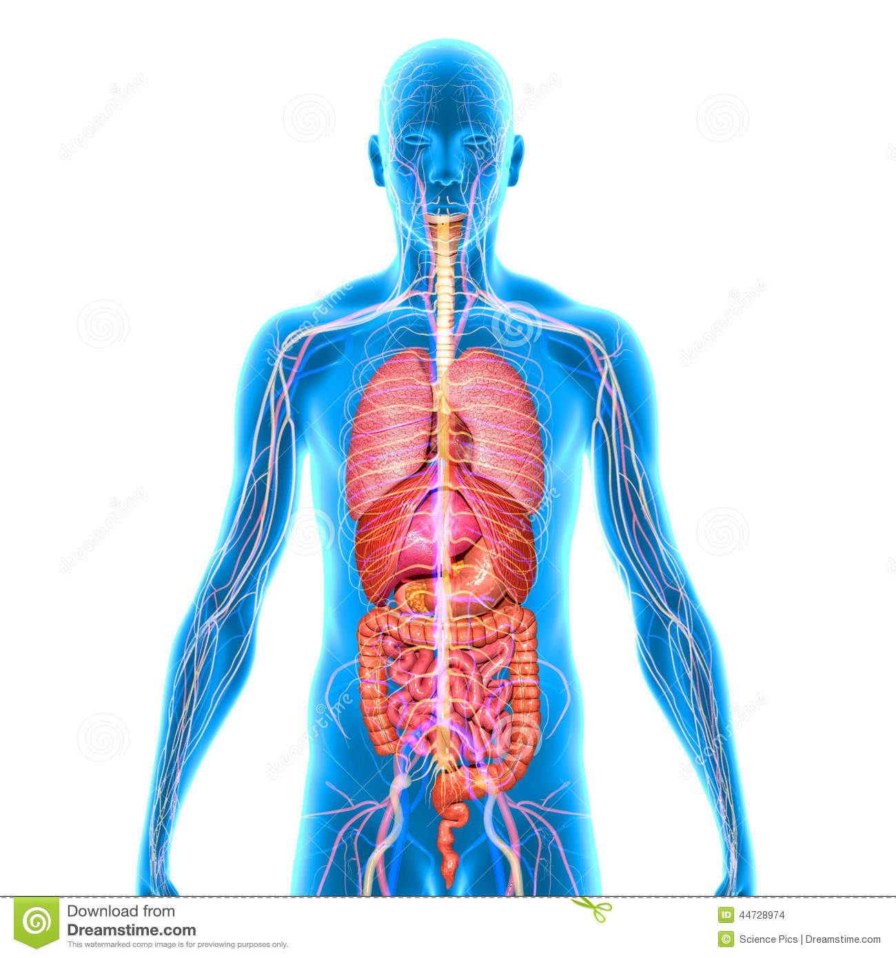 Human Anatomy Stock Illustration Illustration Of Anatomy 44728974