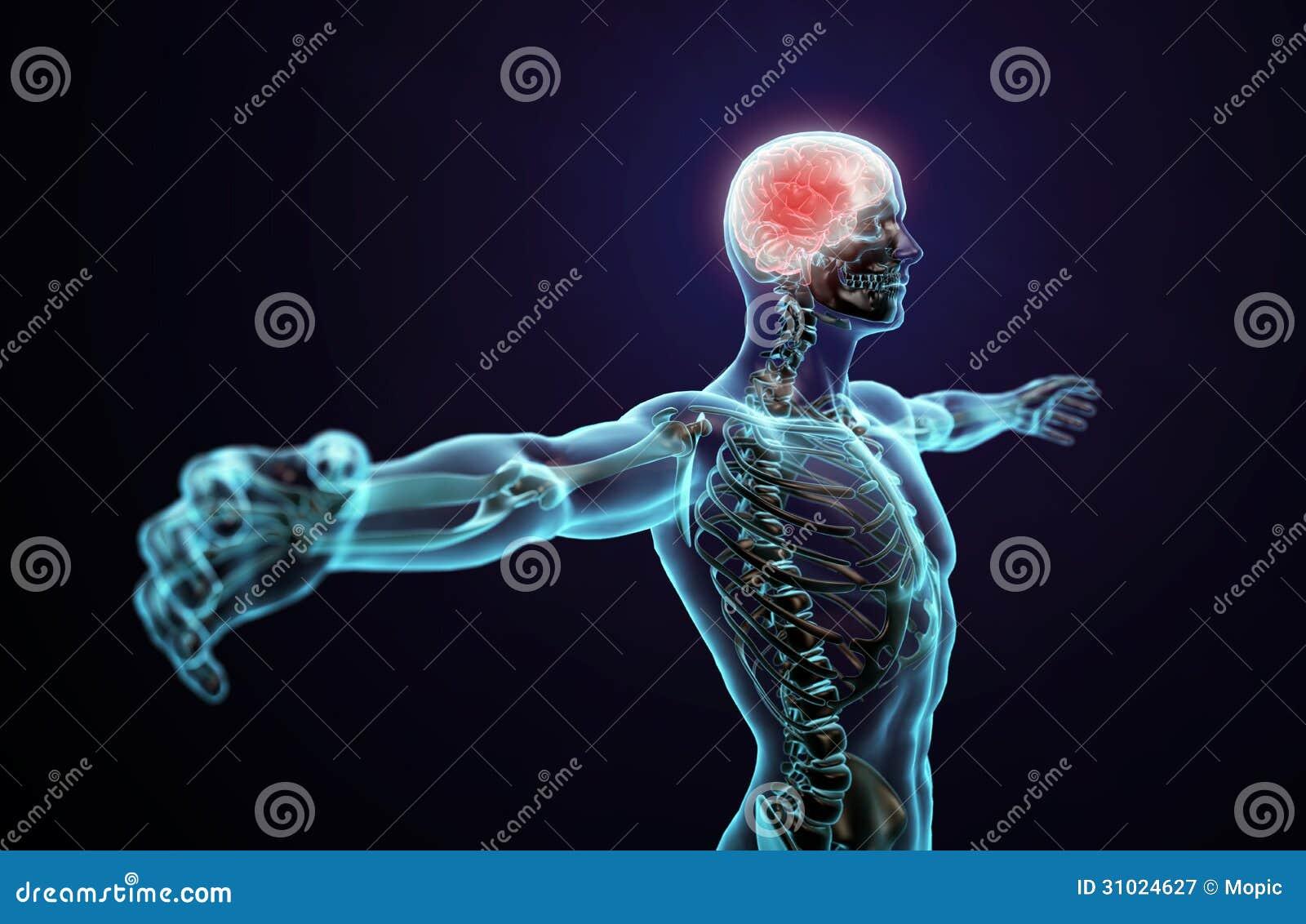 Human Anatomy Central Nervous System Stock Illustration