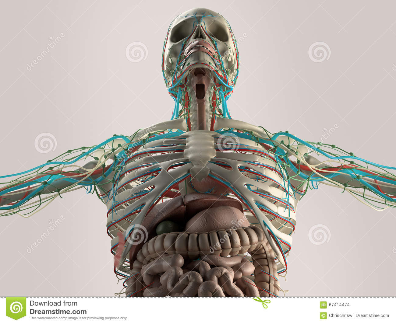 Human Anatomy Chest From Low Angle Bone Structure Veins On Plain