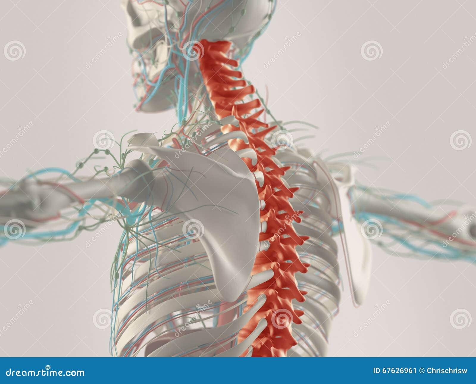 Human Anatomy In 3d Stock Image Image Of Drawn Vertebrae 67626961