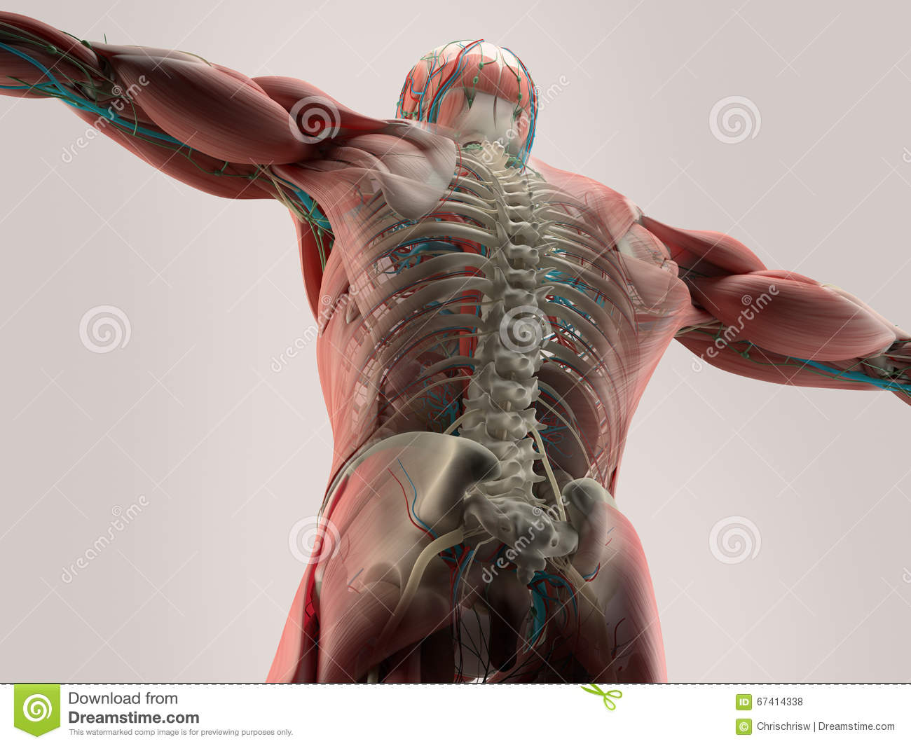 Human Anatomy Detail Of Back,spine. Bone Structure, Muscle. On Plain ...