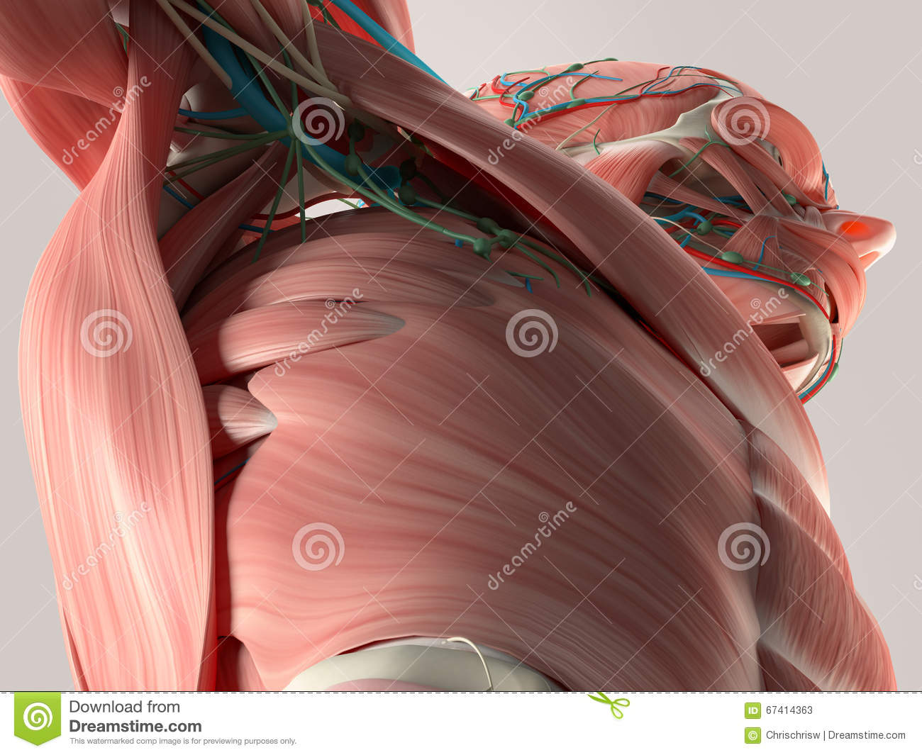 Human Anatomy Detail Of Chest And Shoulder Muscle Arteries On