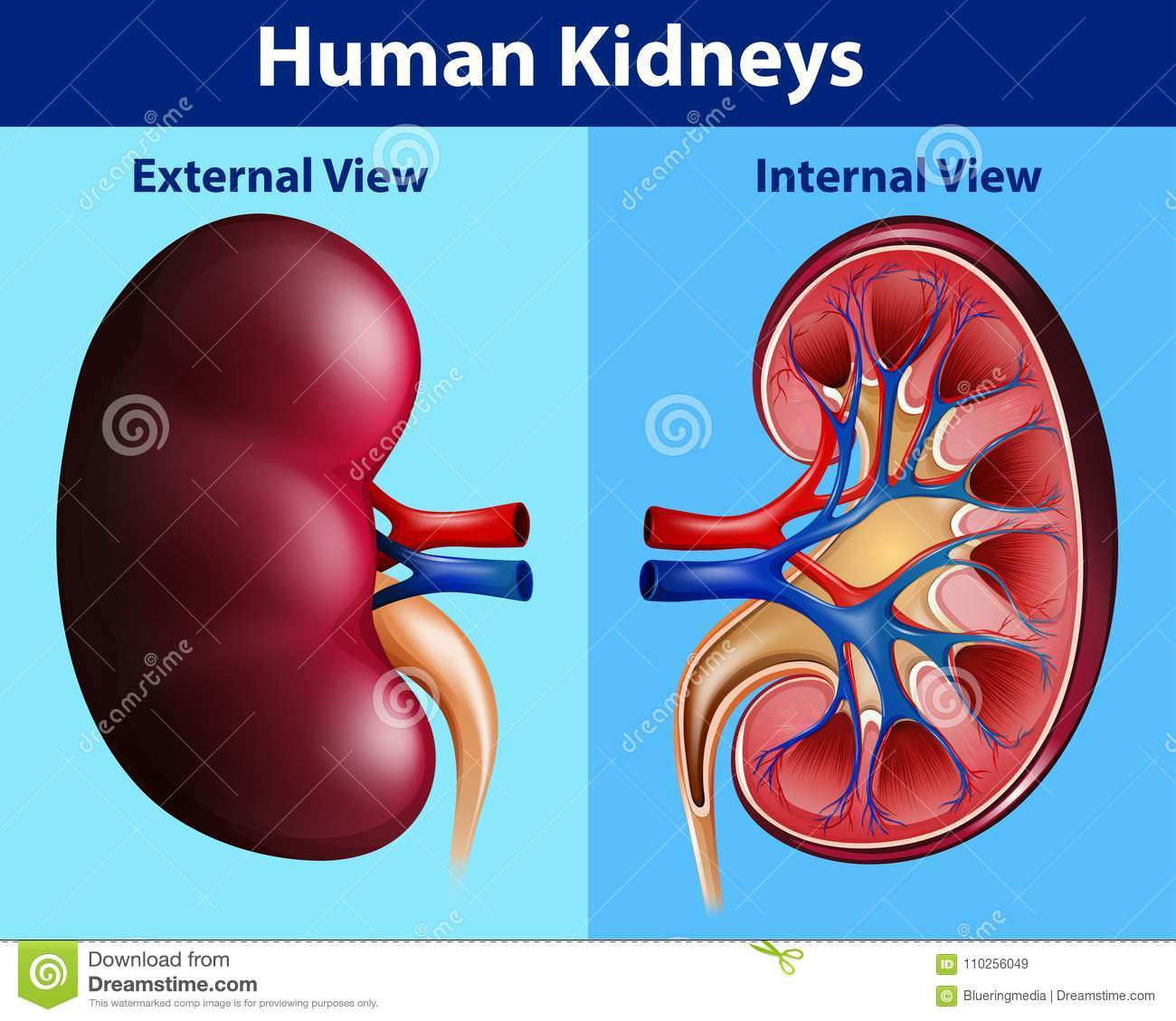 Human Anatomy Diagram With Kidneys Stock Vector Illustration Of