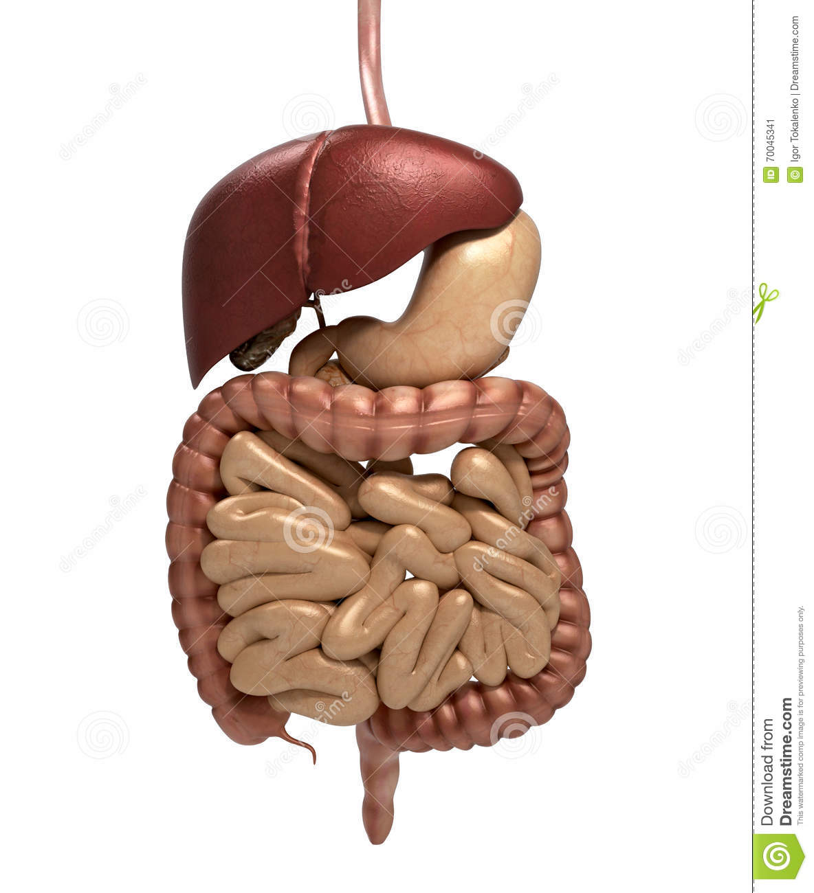 Human Anatomy Digestive System Cutaway Including Mouth The Oth