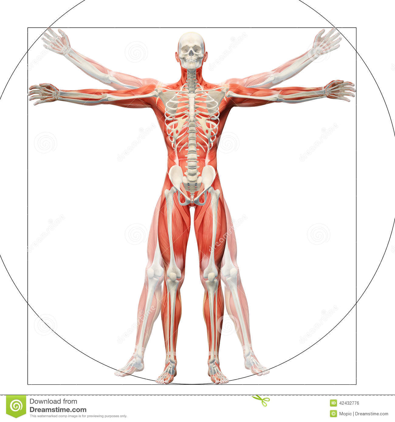 Human Anatomy Displayed As The Vitruvian Man Stock Illustration