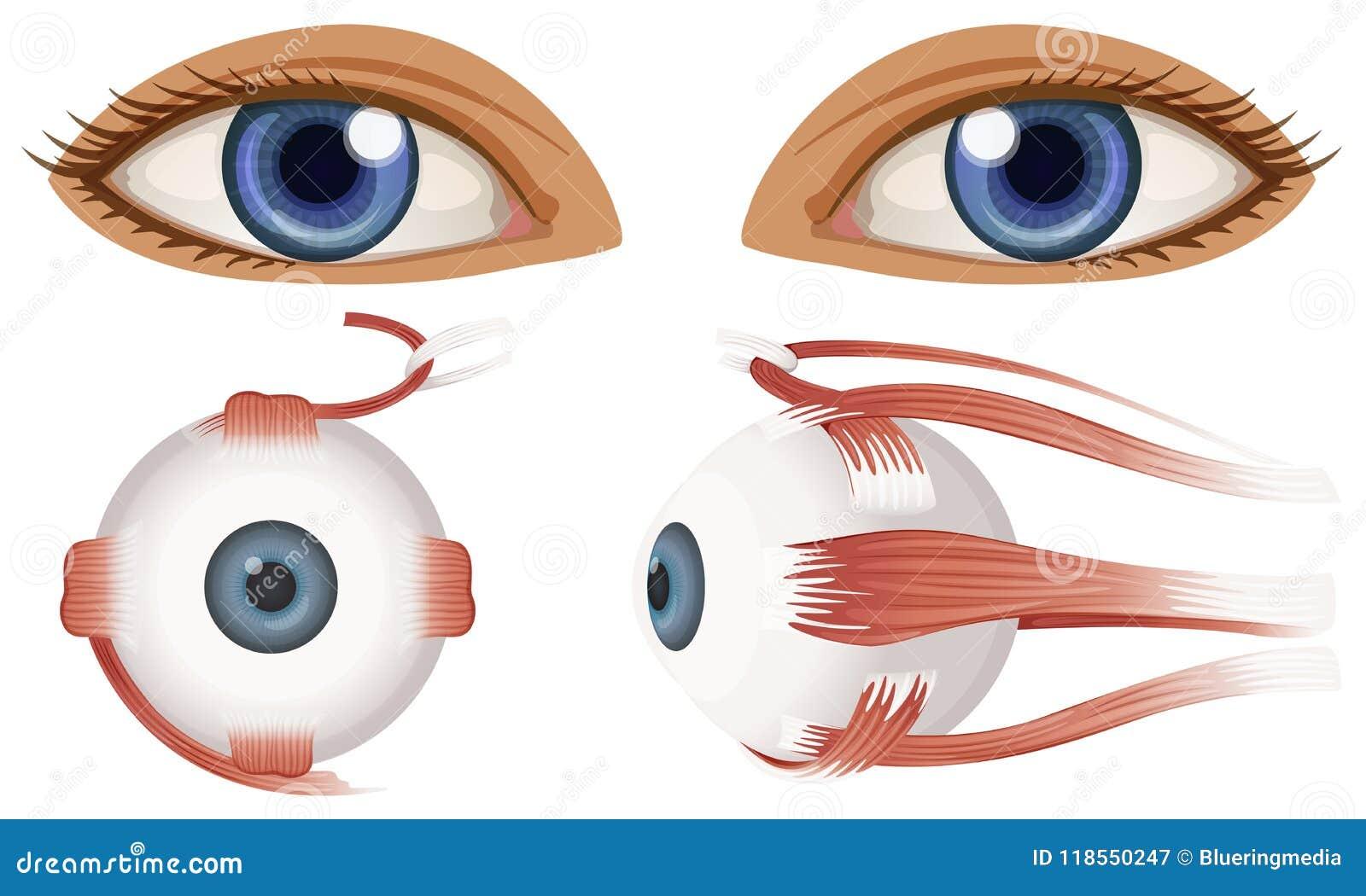 Human Anatomy Of Eyeball Stock Vector Illustration Of Black 118550247