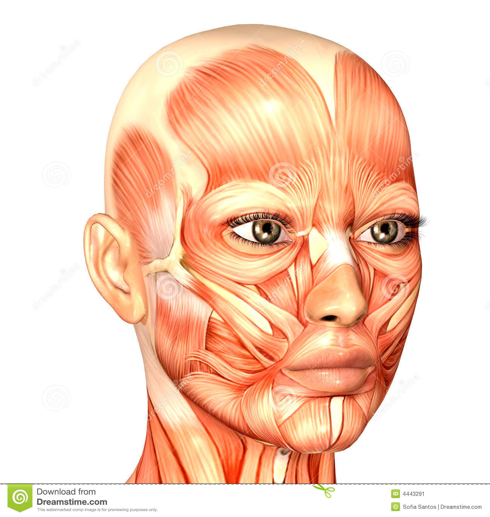 Human Anatomy - Face stock illustration. Illustration of naked - 4443291