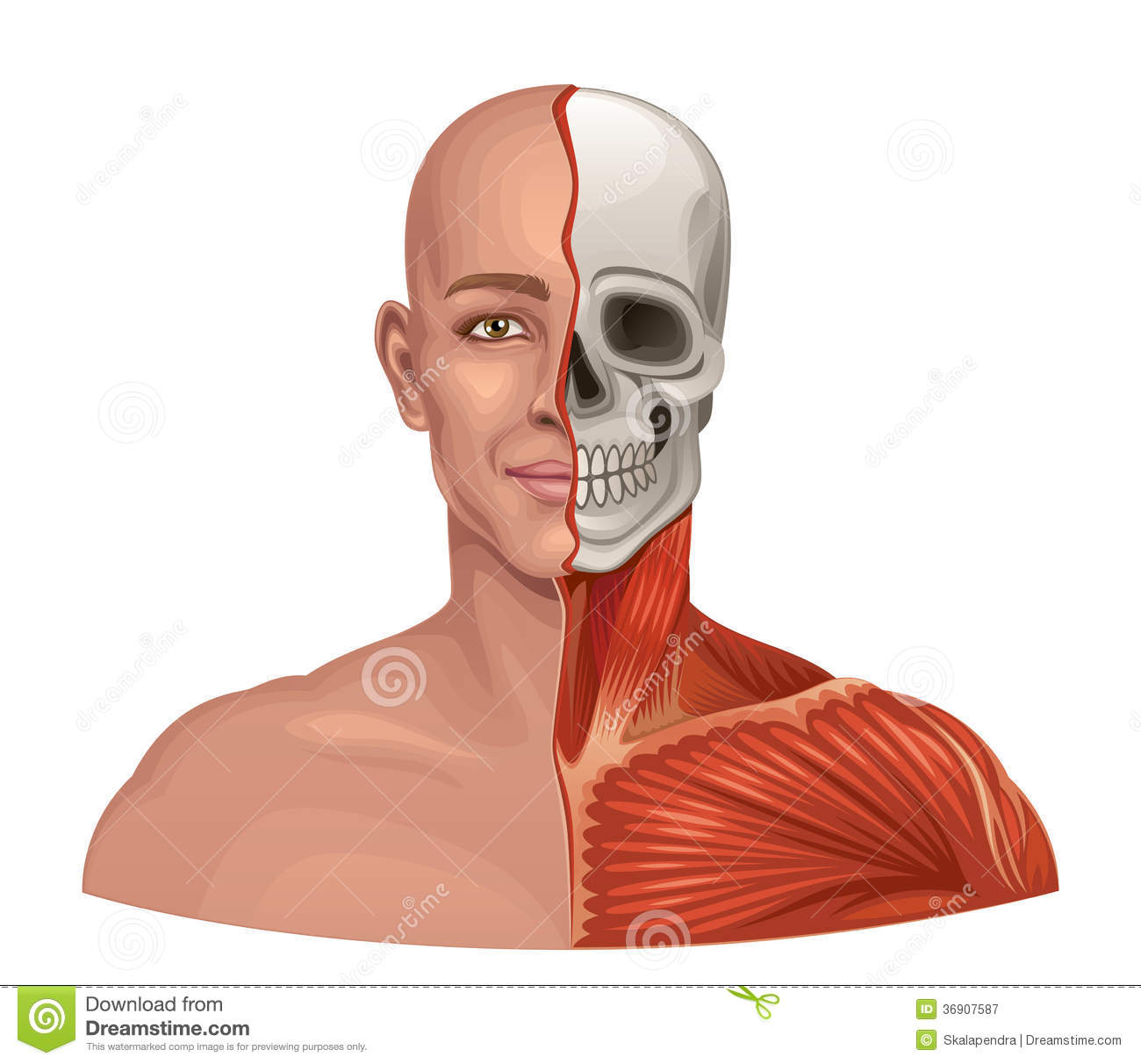 human anatomy facial muscles and skull royalty free stock, Muscles