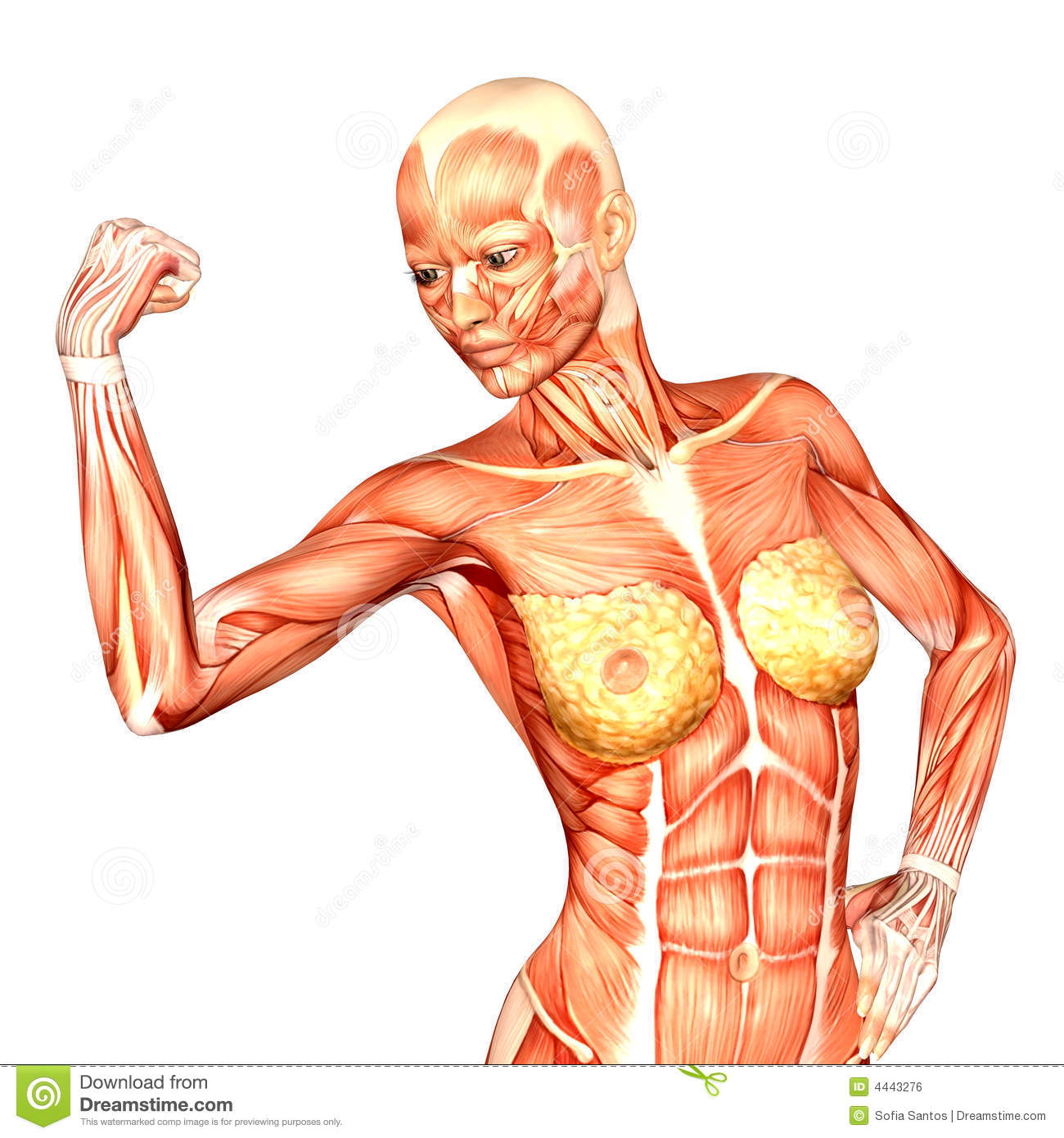 Human Anatomy Female Body Stock Illustration Illustration Of