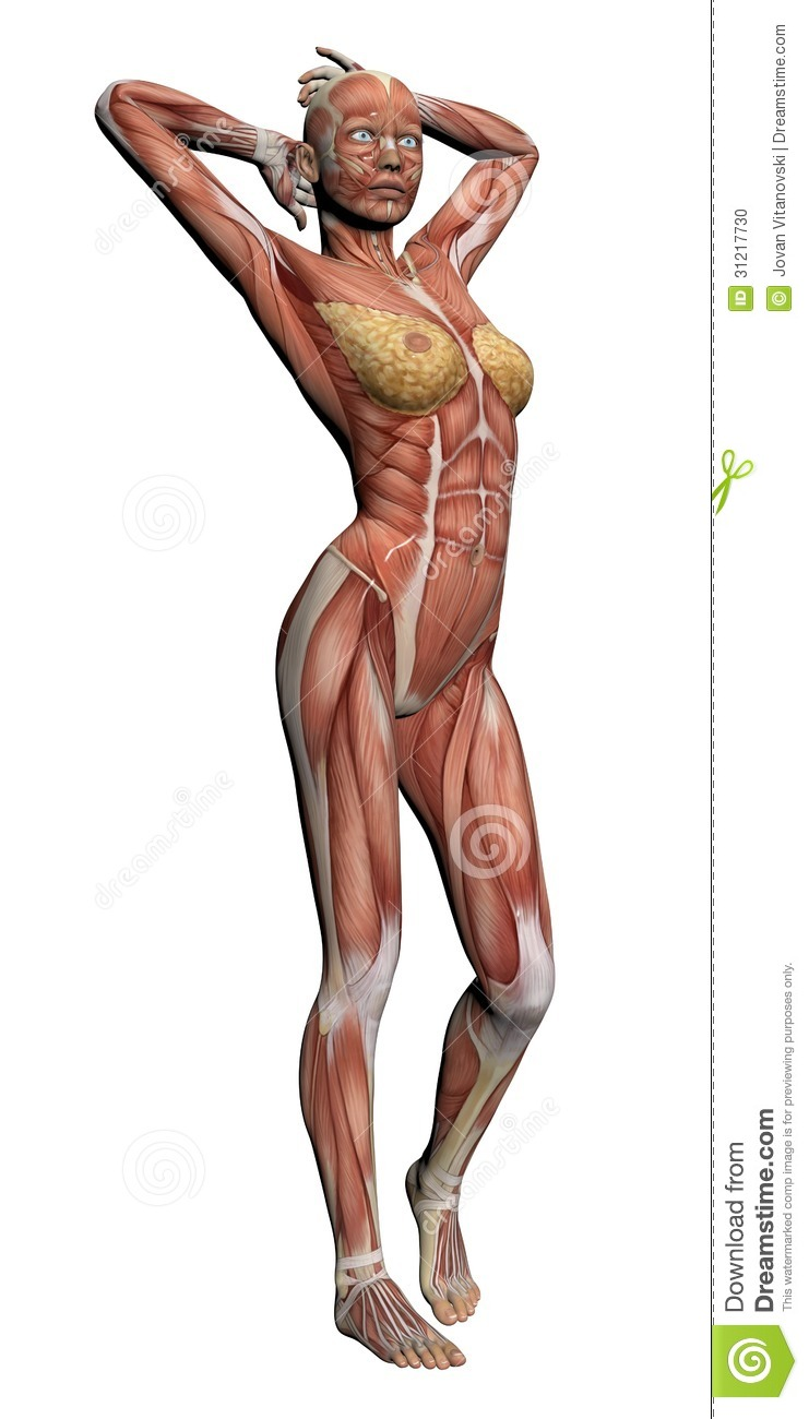 human anatomy - female muscles stock photo - image: 31217730, Muscles