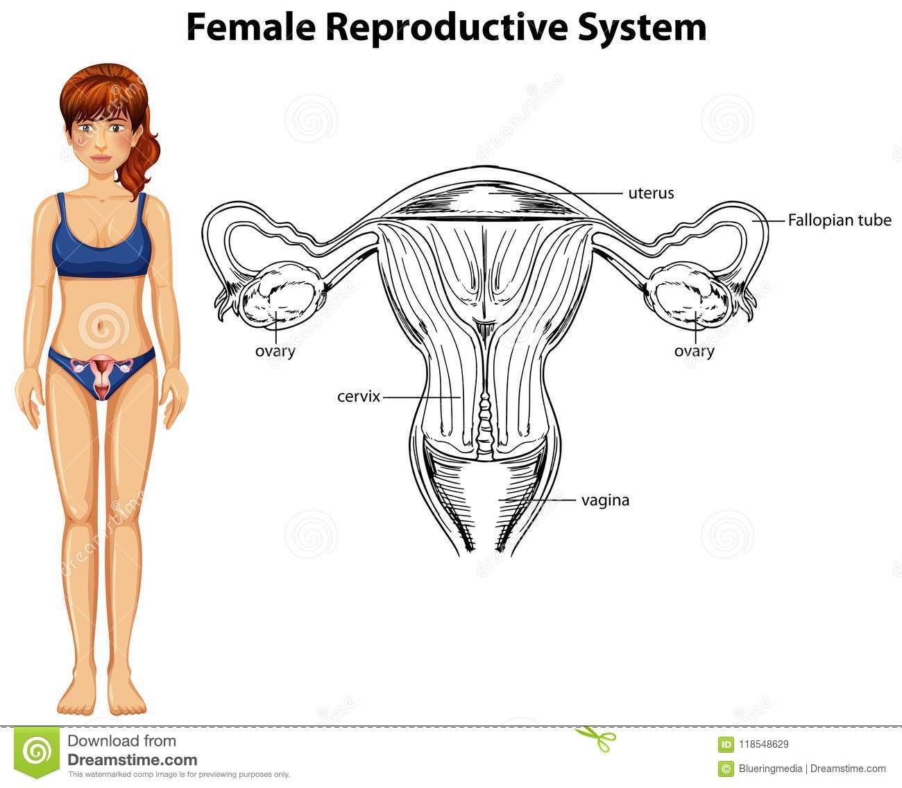 Human Anatomy Of Female Reproductive System Stock Vector