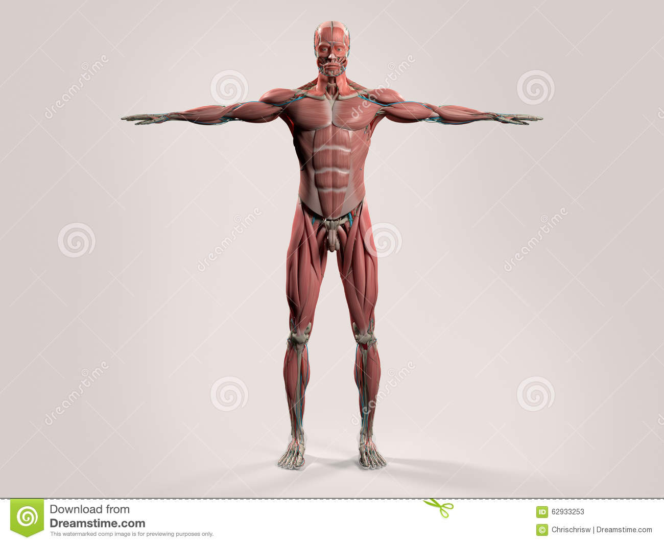 Human Full Respiratory System Cross Section. Stock Illustration ...