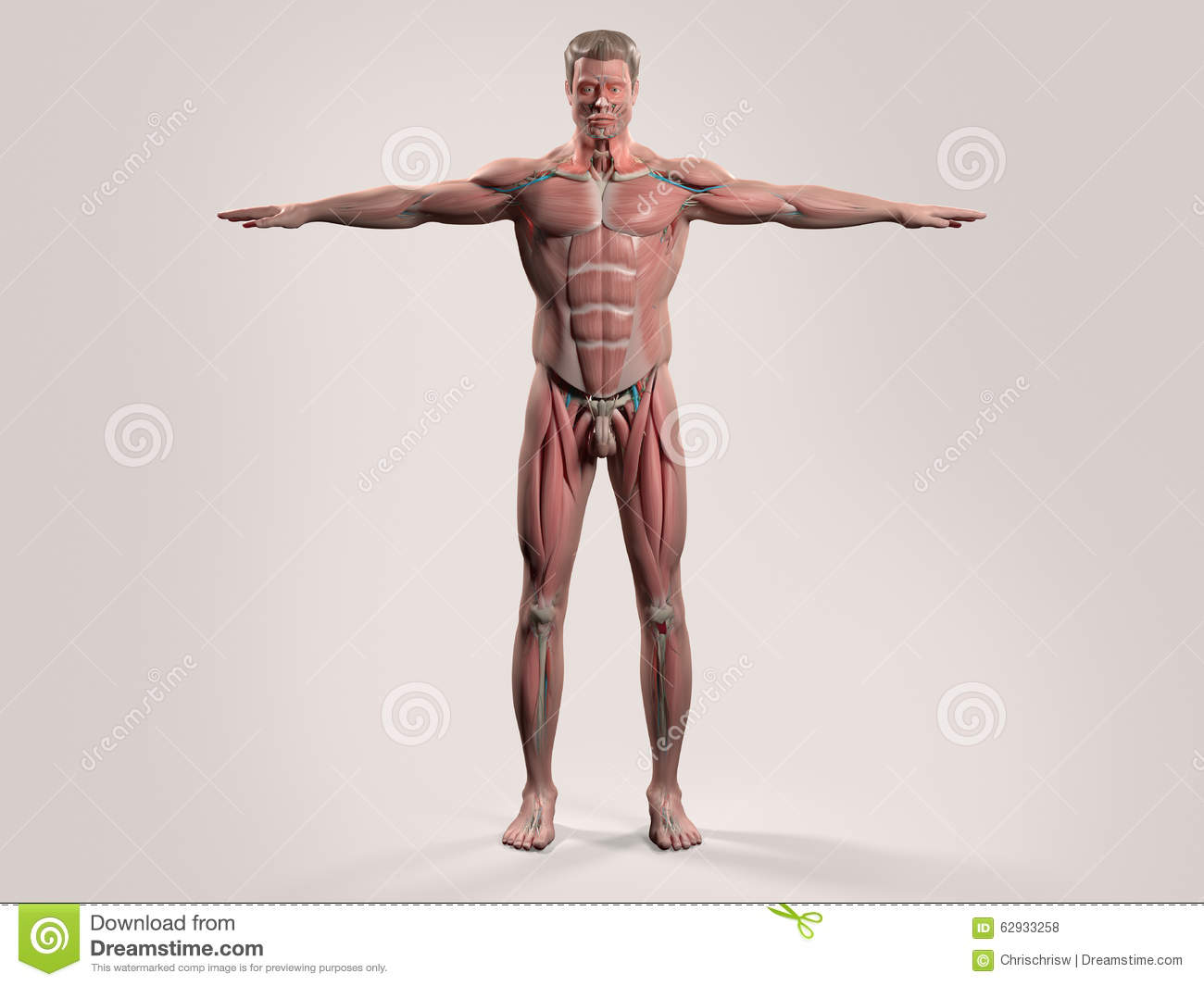 Human Anatomy With Front View Of Full Body Stock Photo Image Of