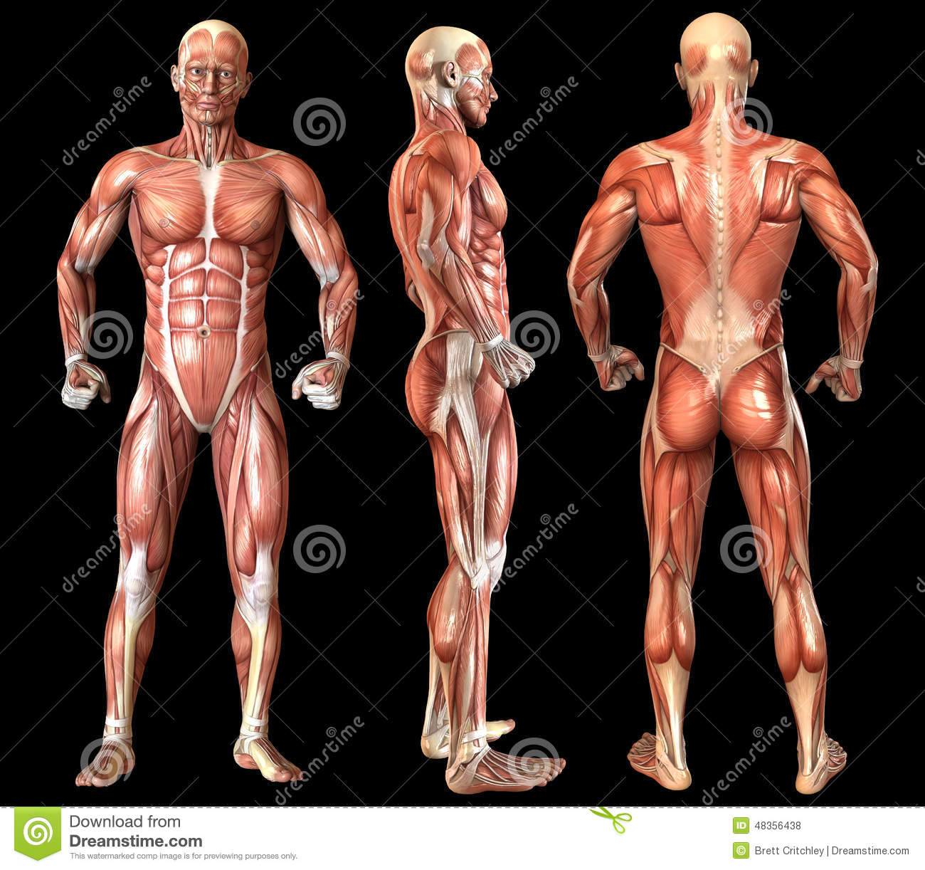 Human Anatomy Full Body Muscles Stock Illustration Illustration Of