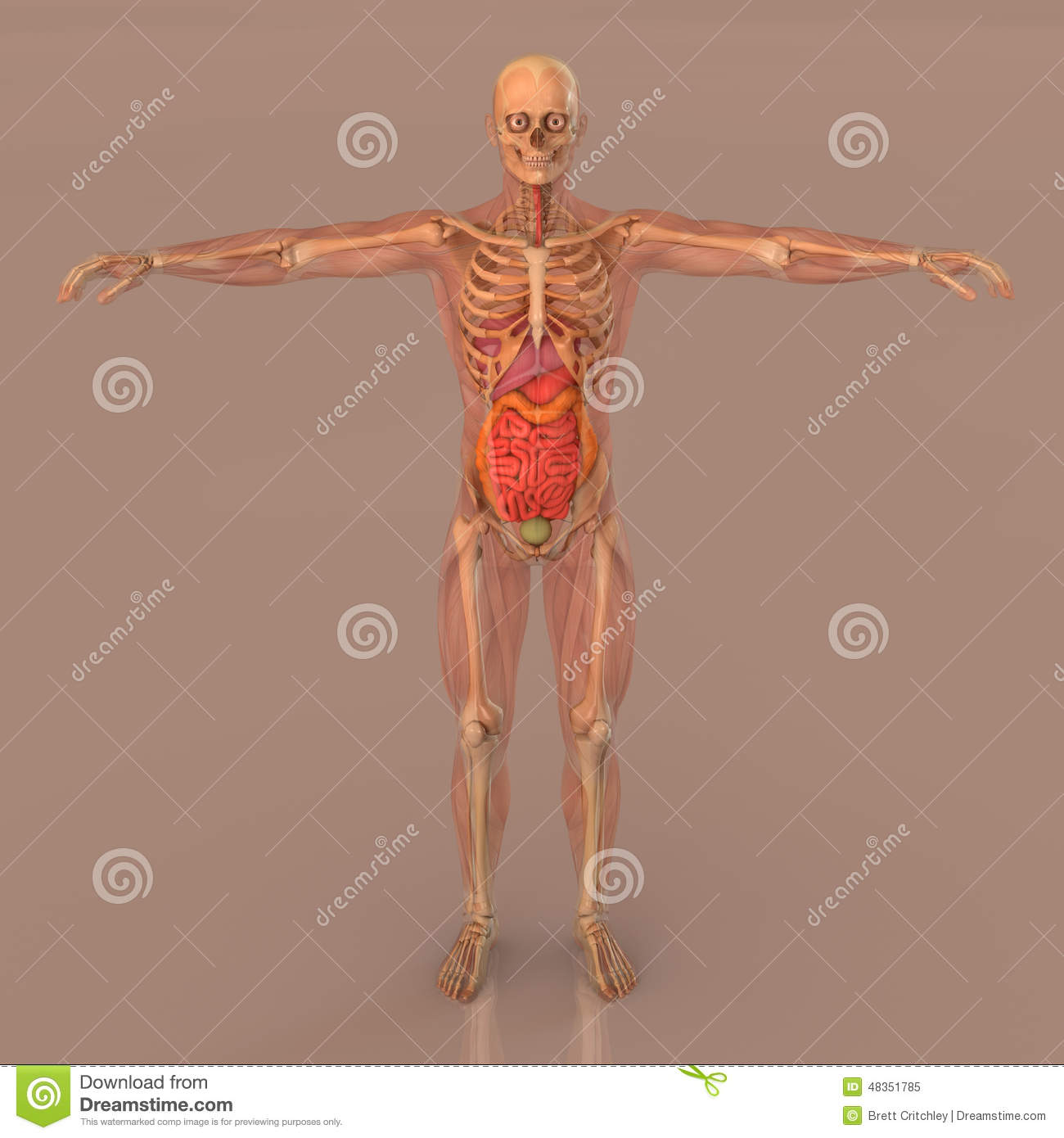 Human Anatomy Full Body Skeleton Stock Illustration - Illustration ...